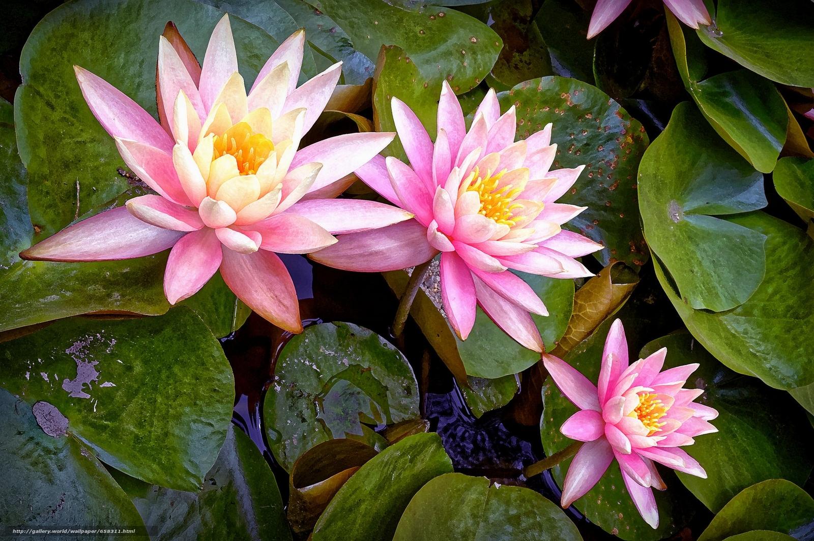 Скачать обои водяная лилия,  водяные лилии,  цветы,  флора бесплатно для рабочего стола в разрешении 2048x1362 — картинка №658311
