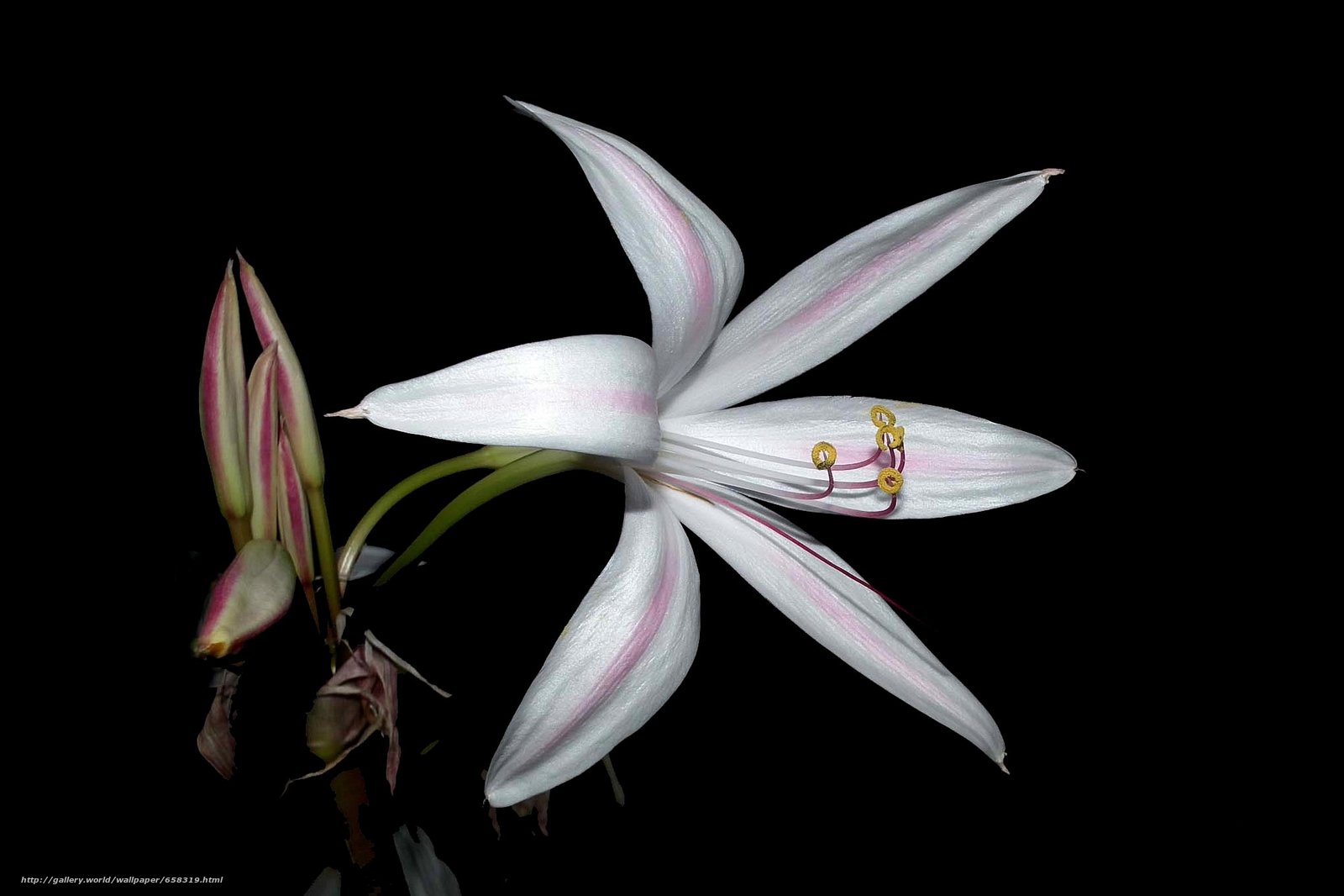 scaricare gli sfondi fiore,  Fiori,  flora,  Giglio Sfondi gratis per la risoluzione del desktop 2040x1359 — immagine №658319
