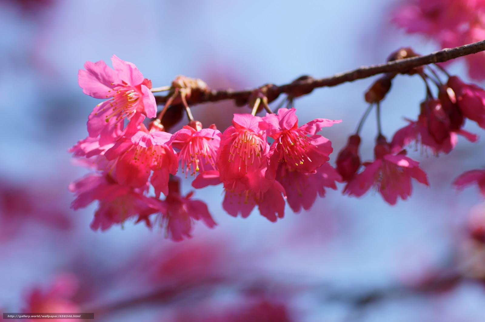 Tlcharger Fond d'ecran fleur,  Fleurs,  flore,  cerisiers en fleurs Fonds d'ecran gratuits pour votre rsolution du bureau 4912x3264 — image №658346