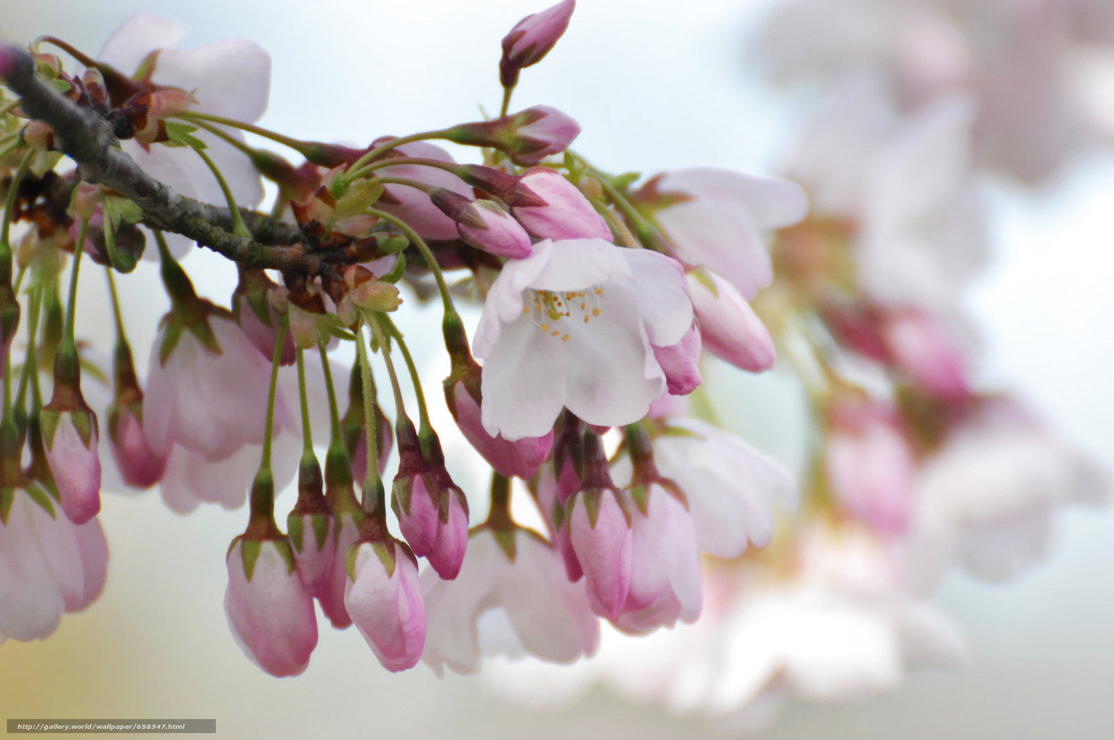 Tlcharger Fond d'ecran fleur,  Fleurs,  flore,  cerisiers en fleurs Fonds d'ecran gratuits pour votre rsolution du bureau 4288x2848 — image №658347