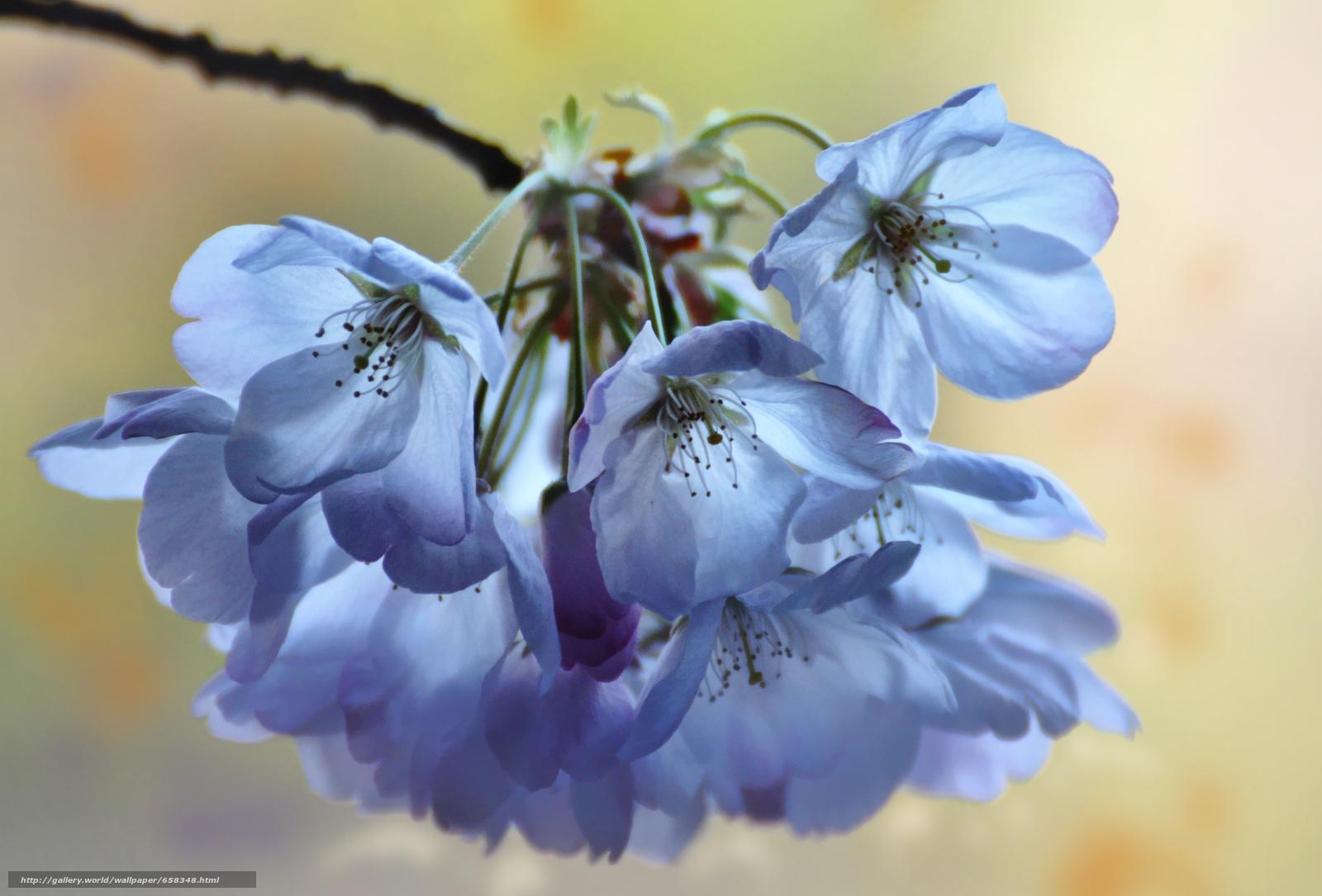 scaricare gli sfondi fiore,  Fiori,  flora,  fiori di ciliegio Sfondi gratis per la risoluzione del desktop 3988x2704 — immagine №658348