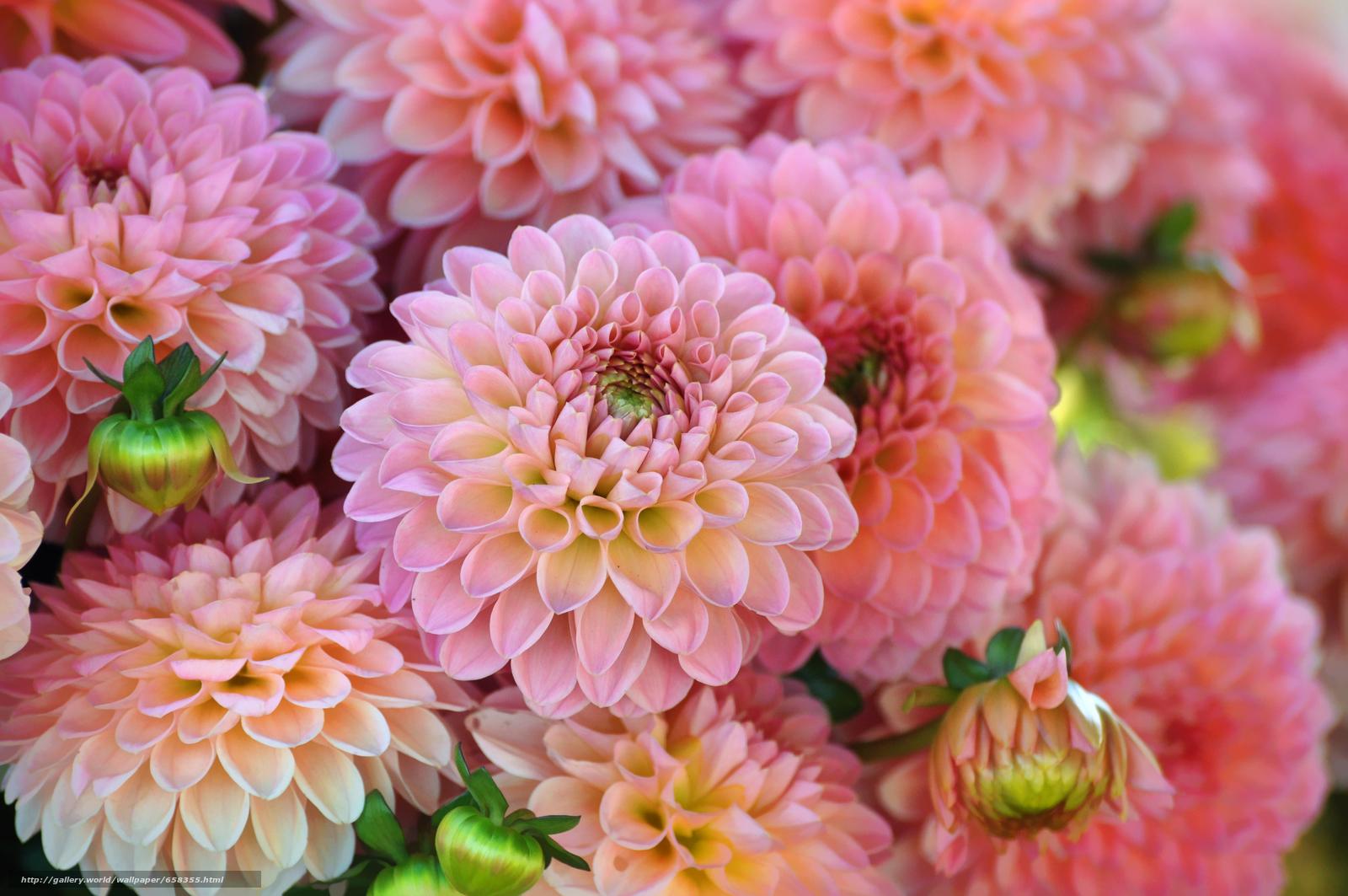 Скачать обои цветок,  цветы,  флора,  георгин бесплатно для рабочего стола в разрешении 4288x2848 — картинка №658355