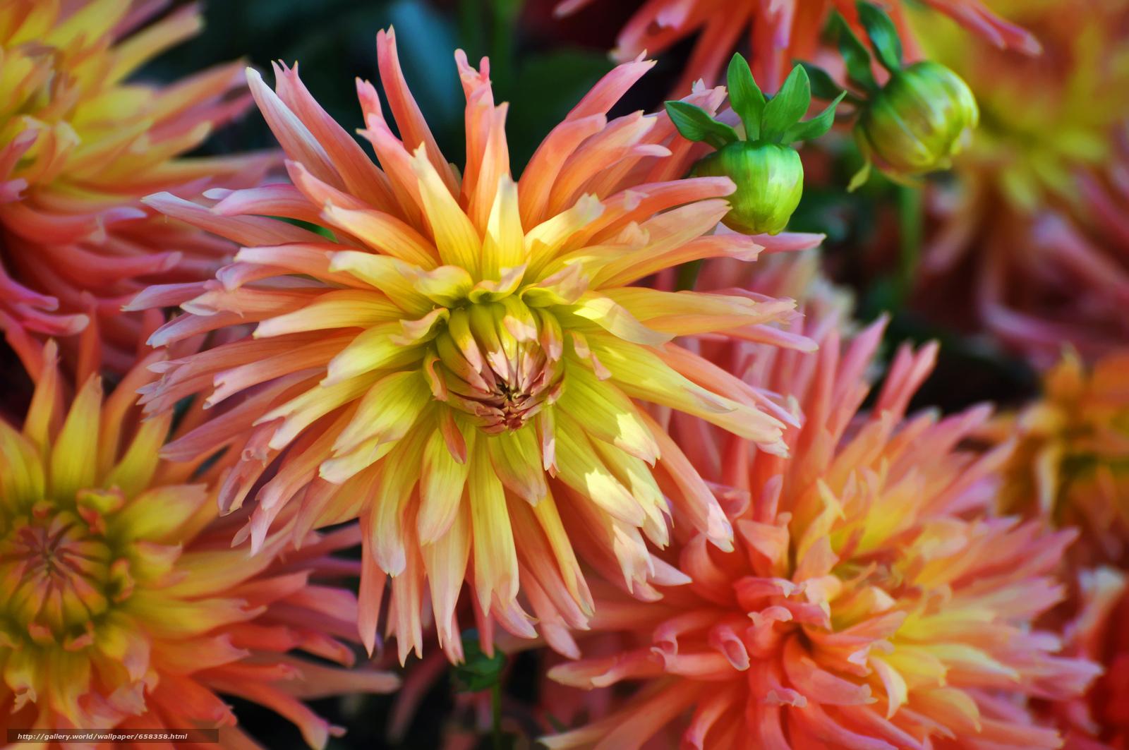 scaricare gli sfondi fiore,  Fiori,  flora,  dalia Sfondi gratis per la risoluzione del desktop 4288x2848 — immagine №658358