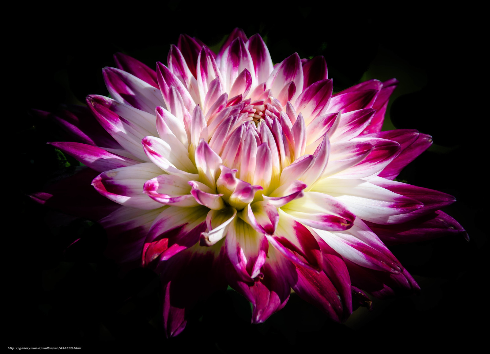 scaricare gli sfondi fiore,  Fiori,  flora,  dalia Sfondi gratis per la risoluzione del desktop 3556x2569 — immagine №658363