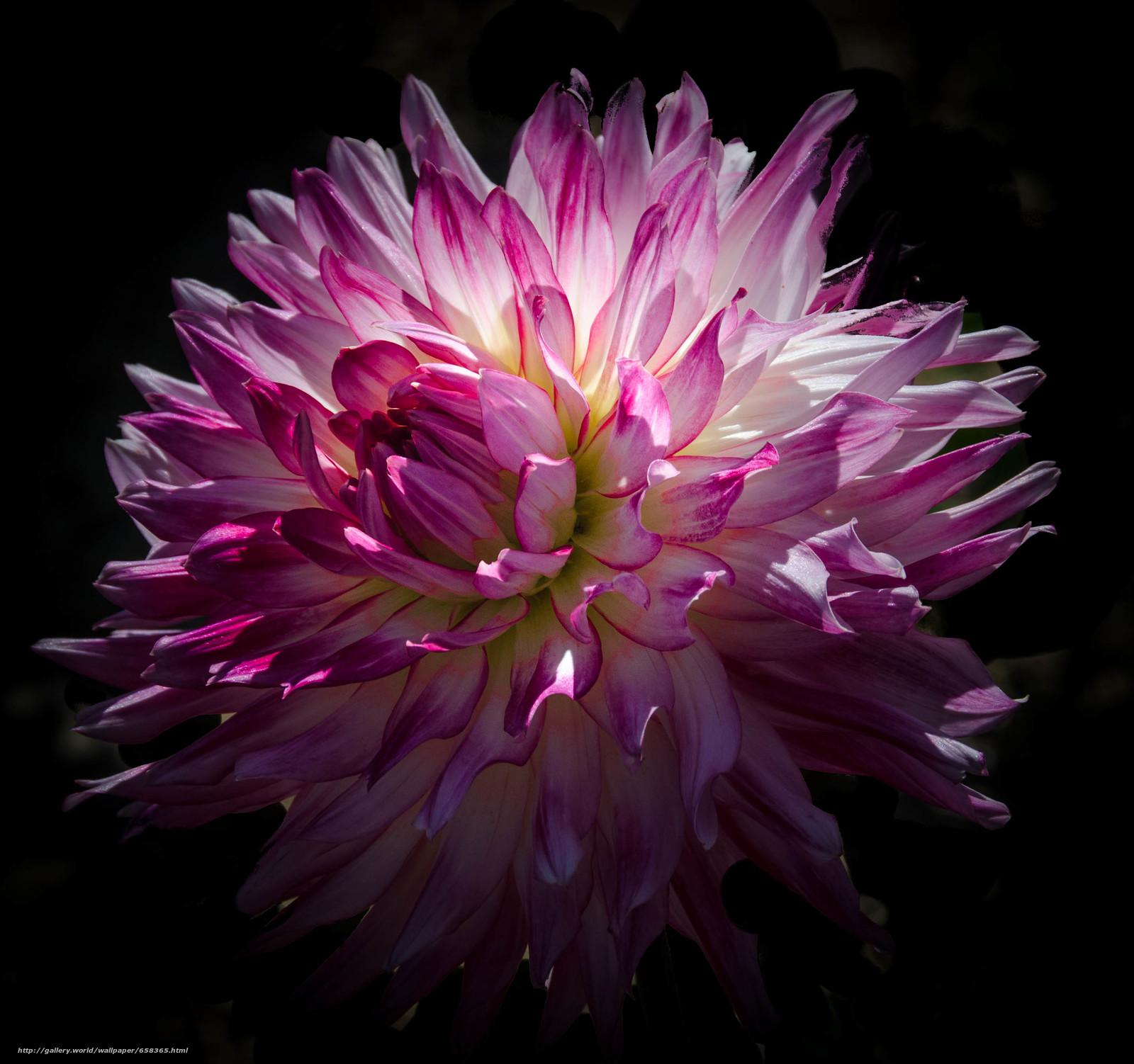 Скачать обои цветок,  цветы,  флора,  георгин бесплатно для рабочего стола в разрешении 2853x2679 — картинка №658365