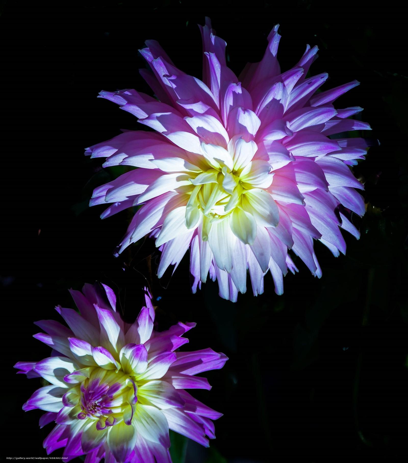 Tlcharger Fond d'ecran fleur,  Fleurs,  flore,  dahlia Fonds d'ecran gratuits pour votre rsolution du bureau 2683x3048 — image №658382