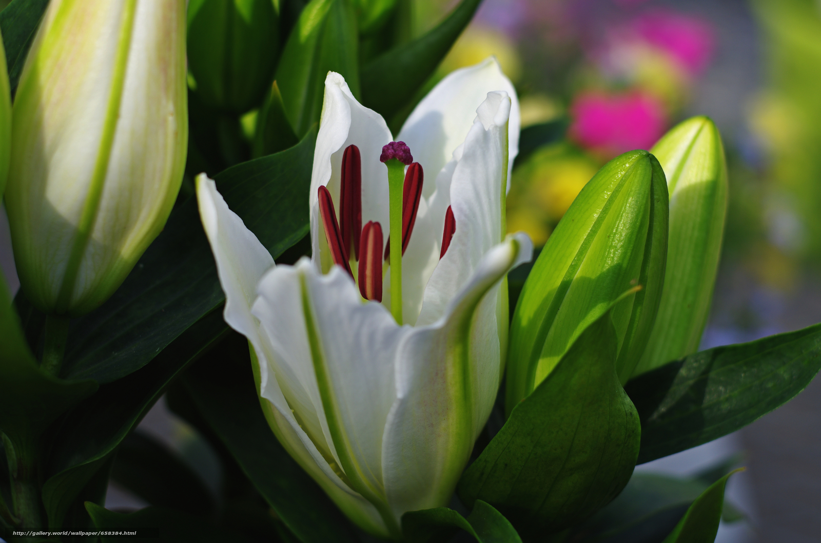 scaricare gli sfondi fiore,  Fiori,  flora,  Gigli Sfondi gratis per la risoluzione del desktop 4554x3016 — immagine №658384