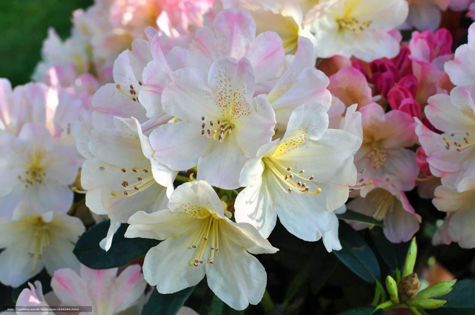 Скачать обои цветок,  цветы,  флора,  Cherry Blossoms бесплатно для рабочего стола в разрешении 4288x2848 — картинка №658386