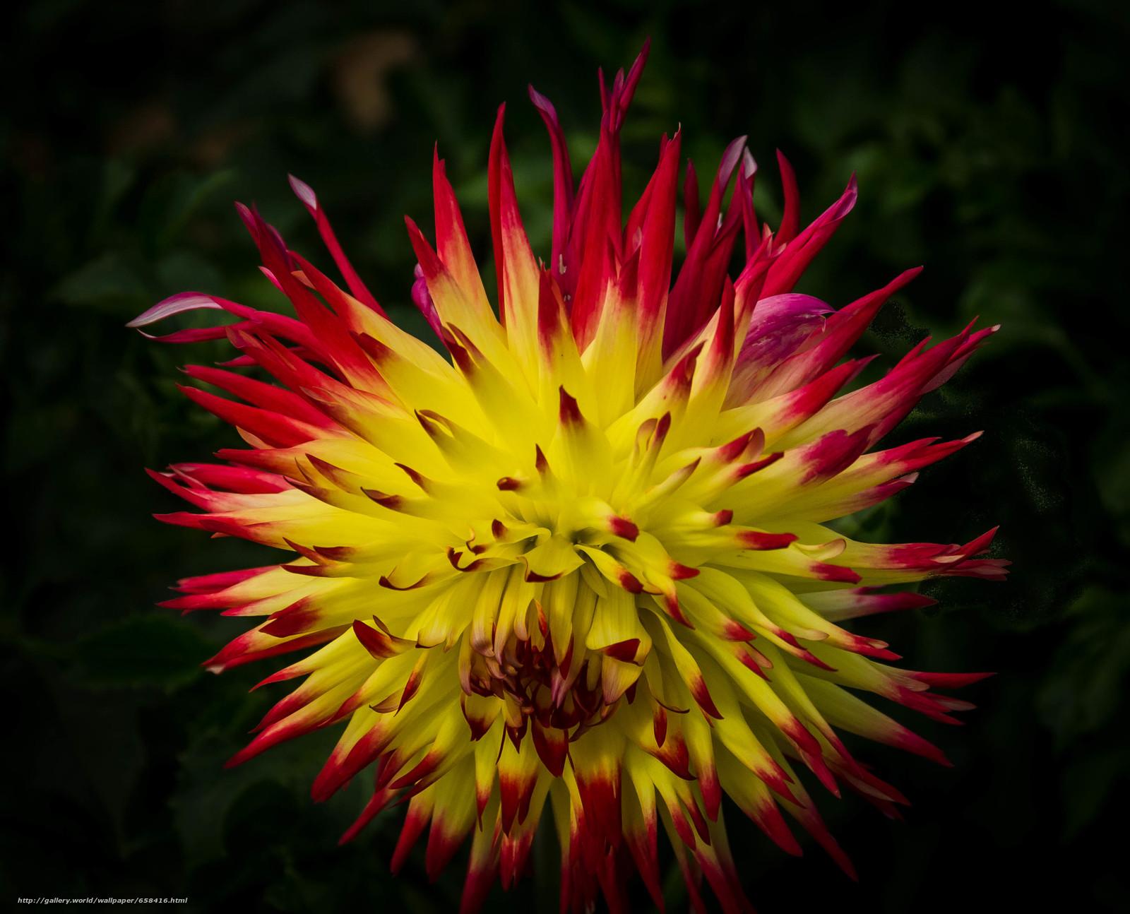 Скачать обои цветок,  цветы,  флора,  георгин бесплатно для рабочего стола в разрешении 3255x2633 — картинка №658416