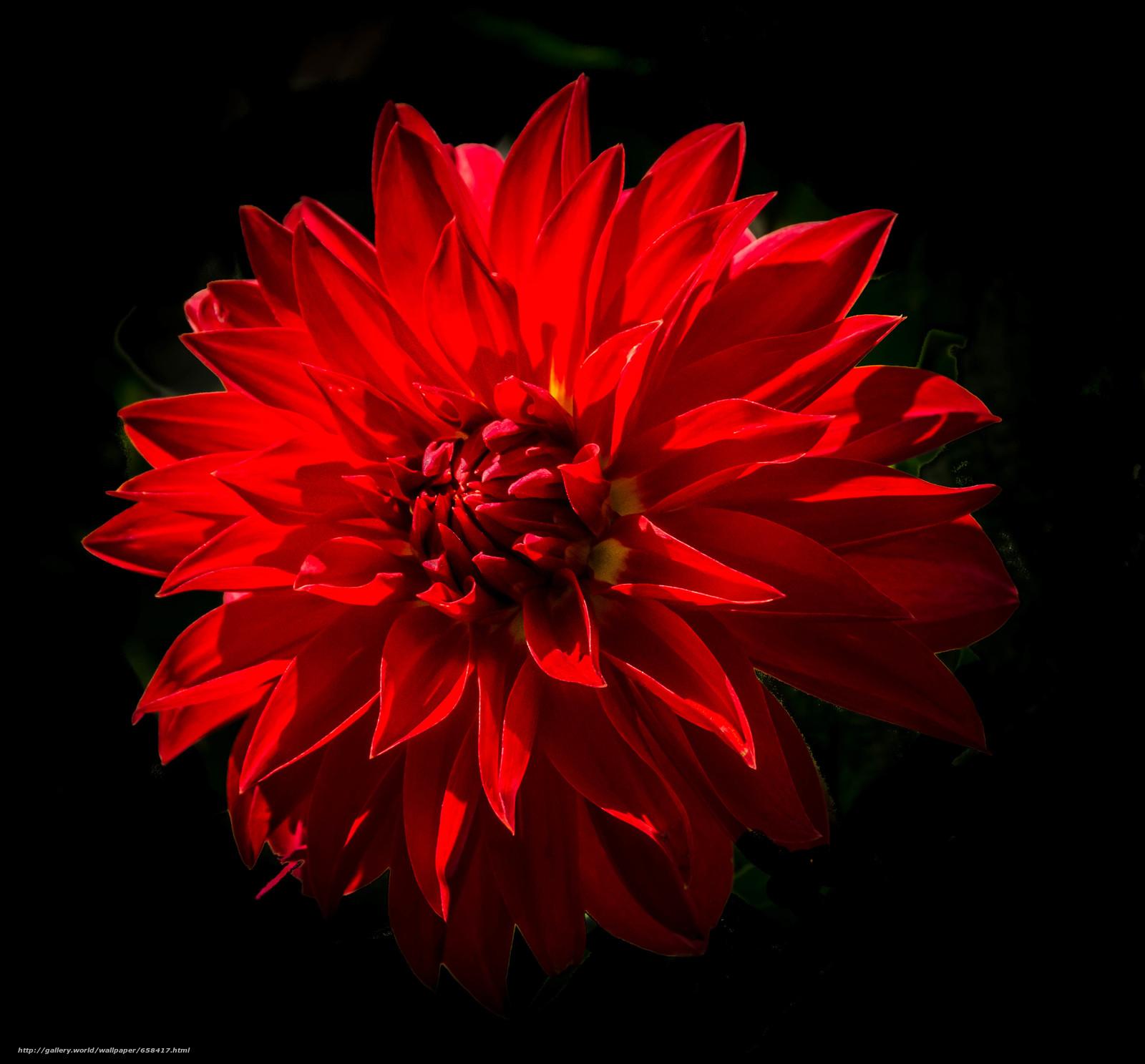 Скачать обои цветок,  цветы,  флора,  георгин бесплатно для рабочего стола в разрешении 3493x3246 — картинка №658417