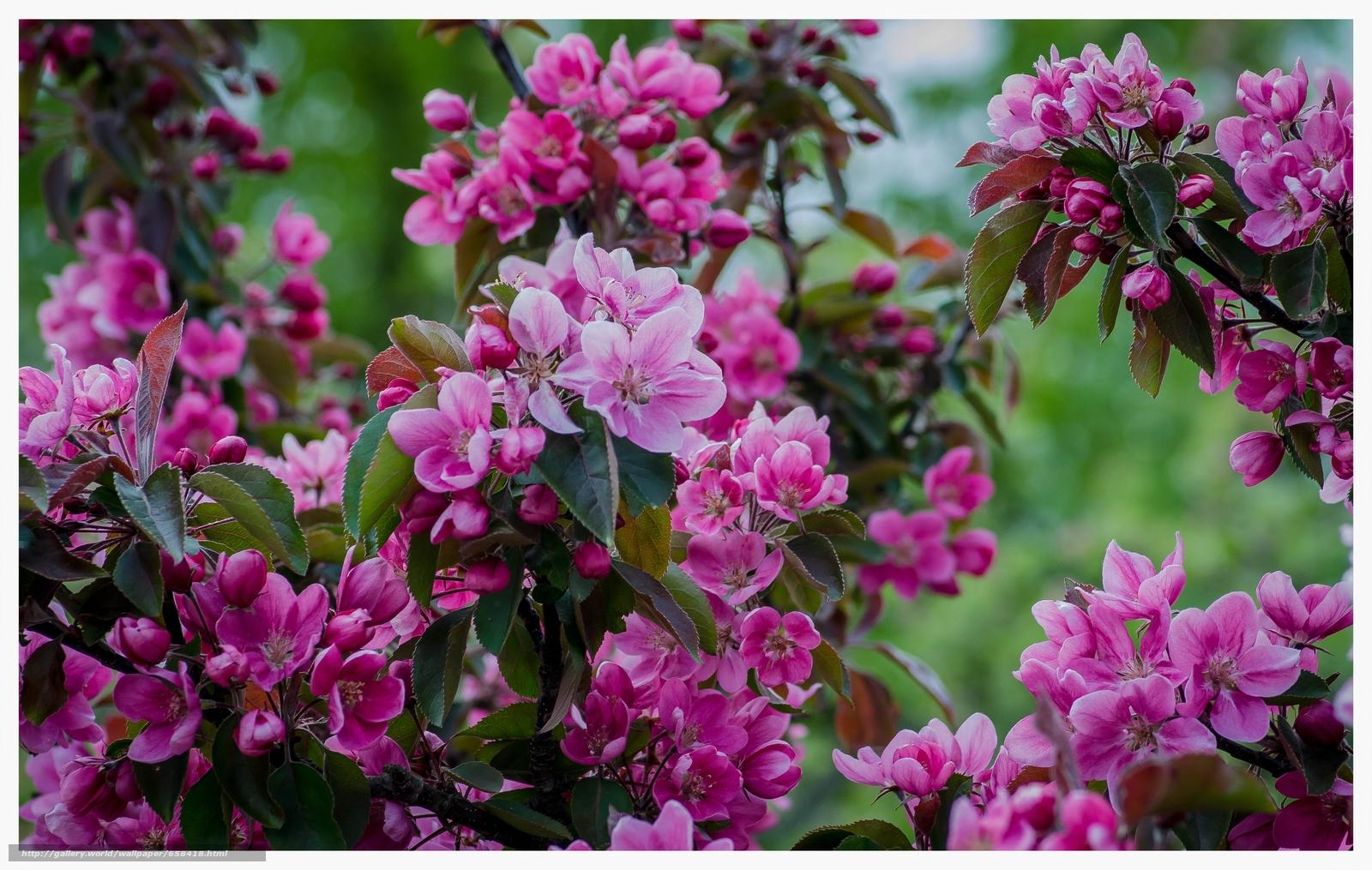 Скачать обои цветок,  цветы,  флора,  Cherry Blossoms бесплатно для рабочего стола в разрешении 4527x2872 — картинка №658418