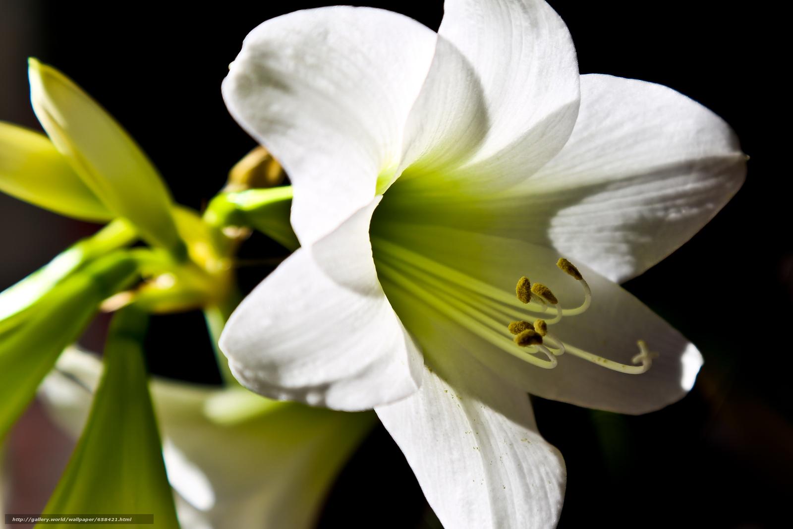 Descargar gratis flor,  Flores,  flora,  lirio Fondos de escritorio en la resolucin 4391x2928 — imagen №658421