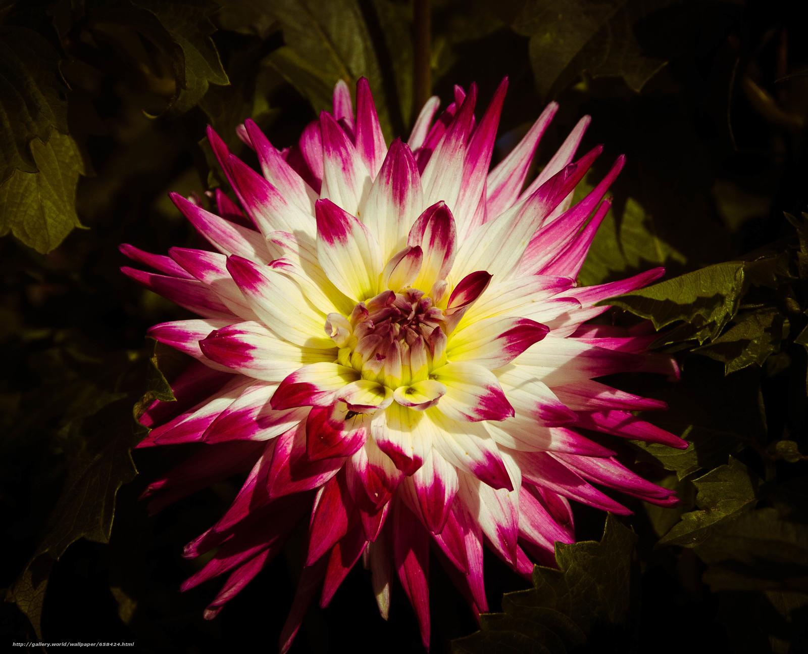 Download wallpaper flower,  Flowers,  flora,  dahlia free desktop wallpaper in the resolution 3301x2670 — picture №658424