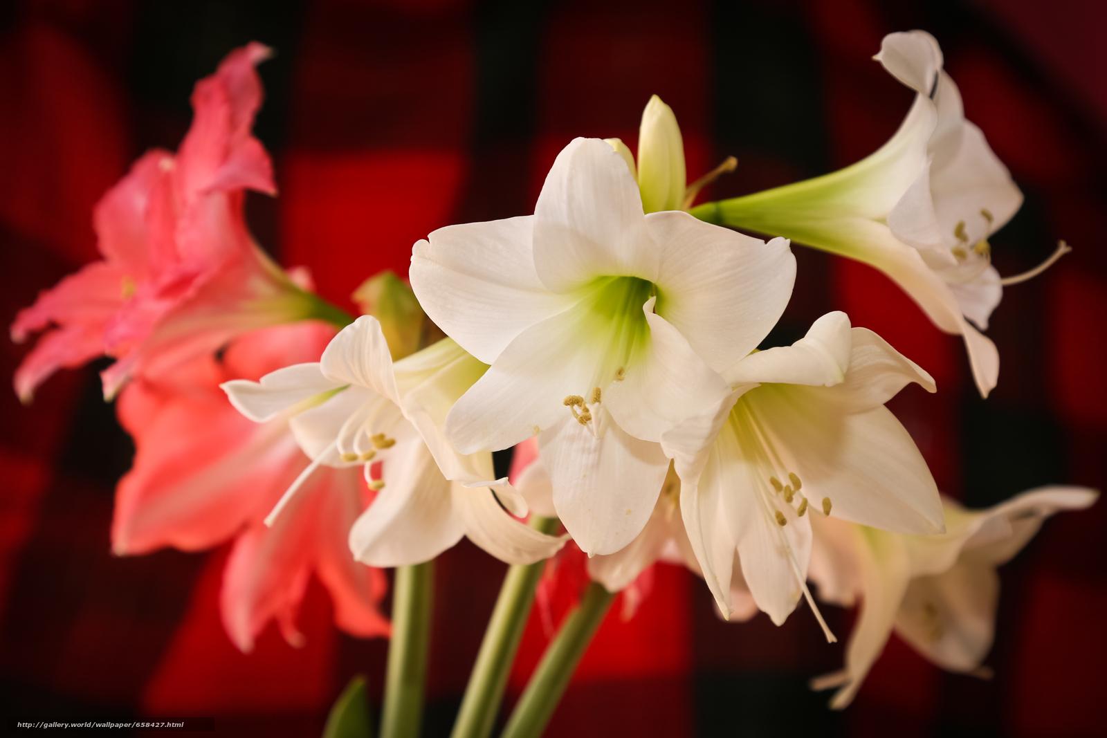 Скачать обои цветок,  цветы,  флора,  лилии бесплатно для рабочего стола в разрешении 4898x3265 — картинка №658427