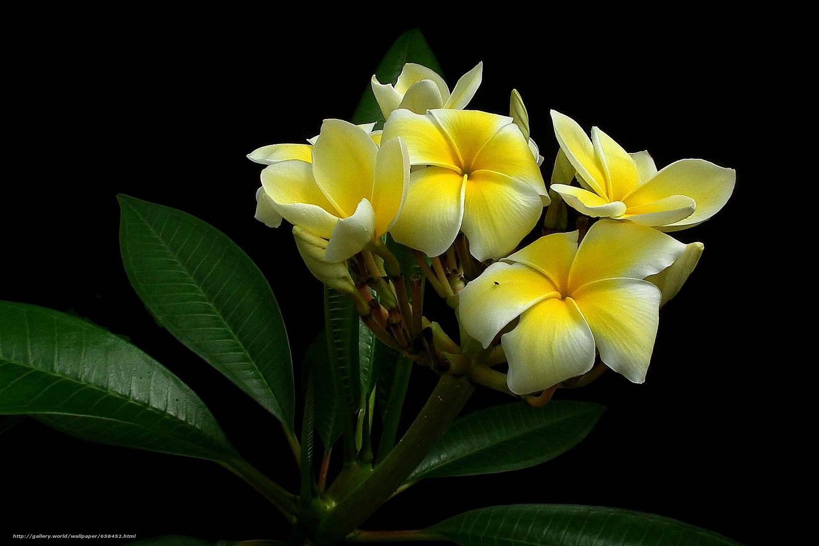 壁紙をダウンロード 花,  フラワーズ,  フローラ デスクトップの解像度のための無料壁紙 1650x1100 — 絵 №658452