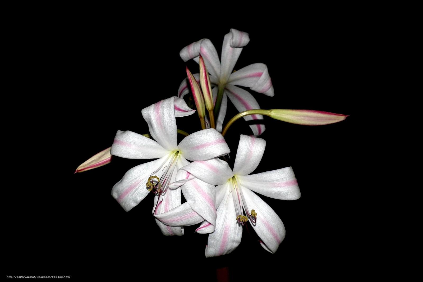 scaricare gli sfondi fiore,  Fiori,  flora,  Gigli Sfondi gratis per la risoluzione del desktop 1950x1299 — immagine №658465