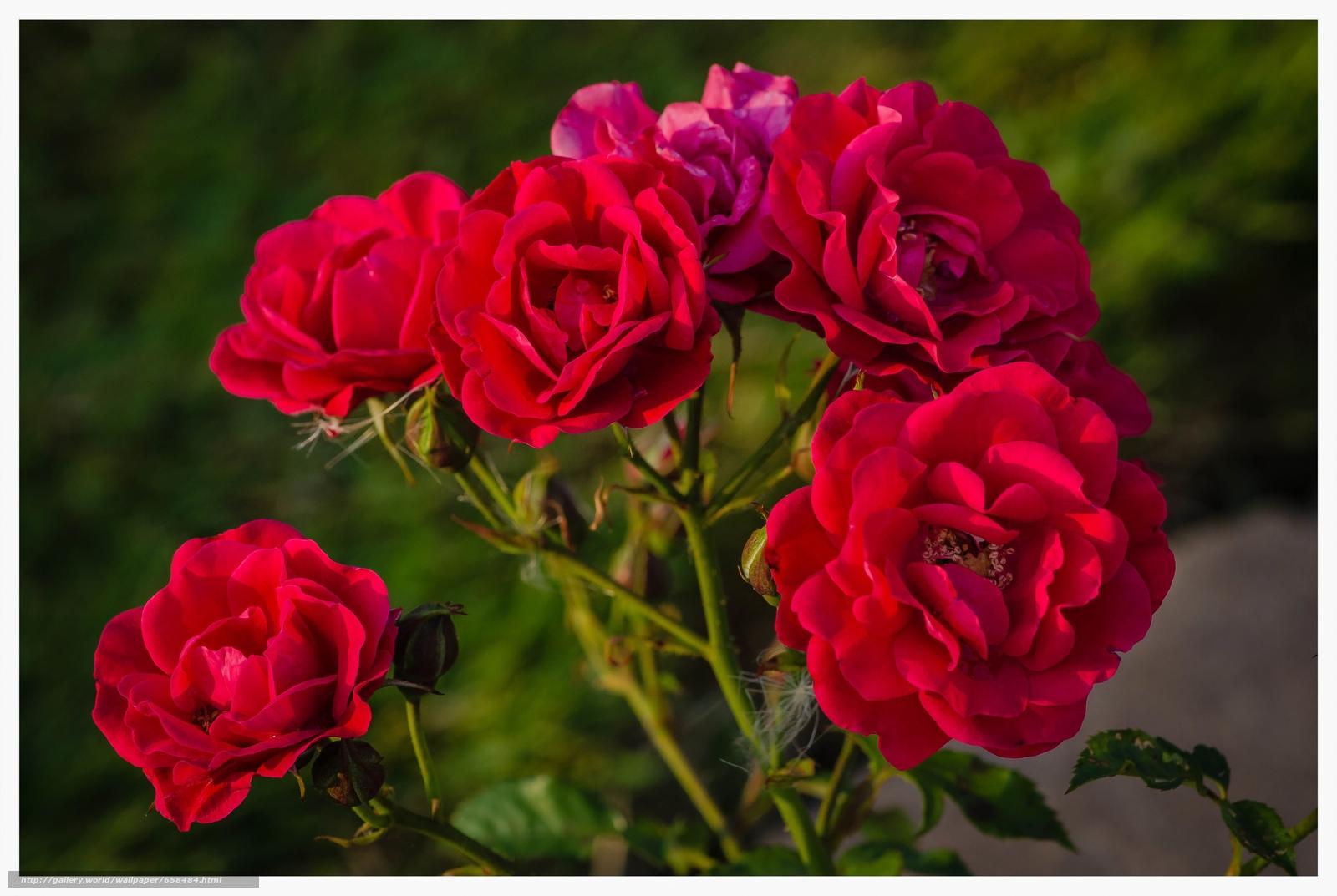 scaricare gli sfondi fiore,  Fiori,  flora,  rosa Sfondi gratis per la risoluzione del desktop 4866x3264 — immagine №658484