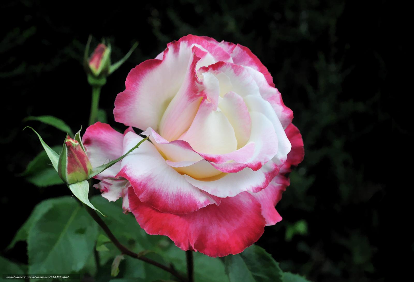 下载壁纸 花,  花卉,  植物群,  玫瑰 免费为您的桌面分辨率的壁纸 3932x2680 — 图片 №658493