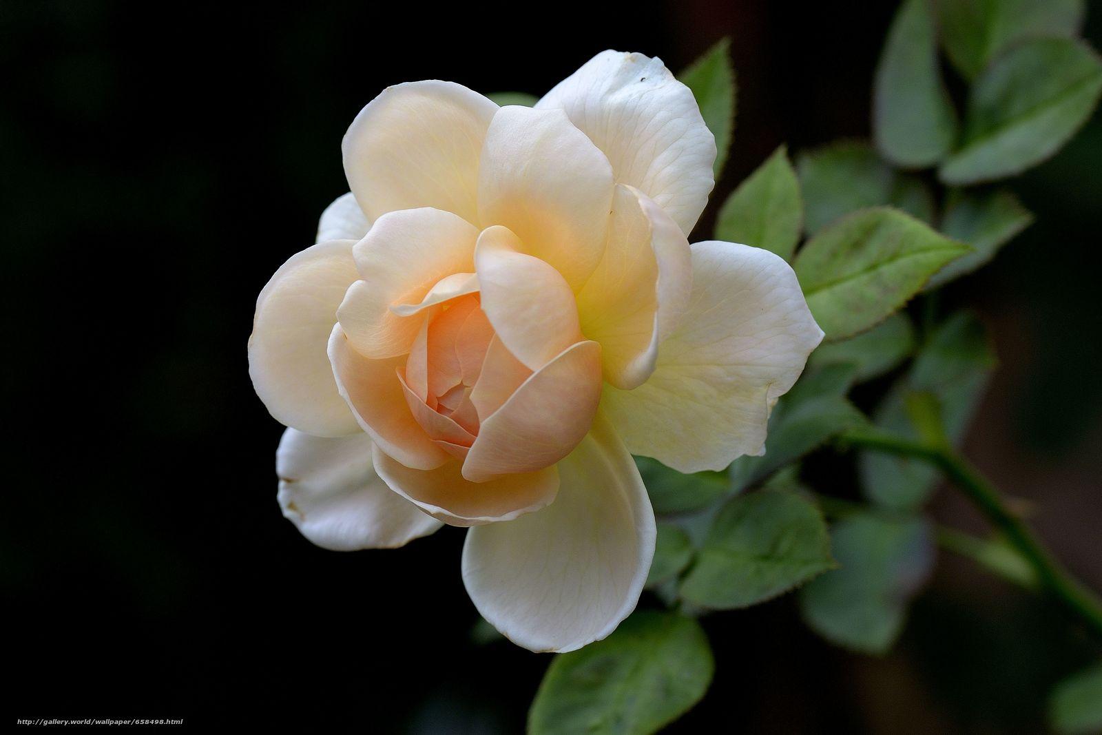Скачать обои цветок,  цветы,  флора,  роза бесплатно для рабочего стола в разрешении 4723x3149 — картинка №658498