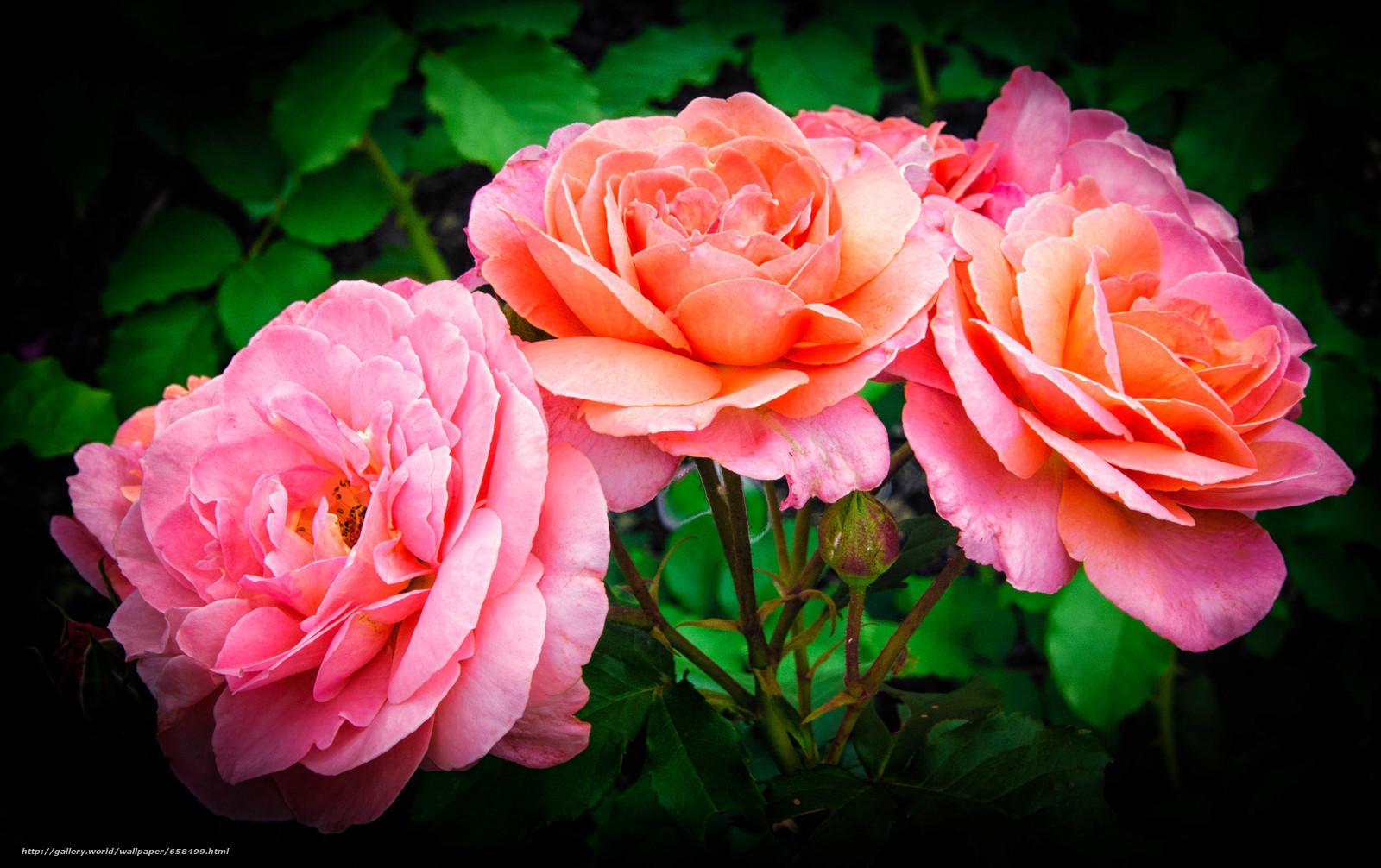 scaricare gli sfondi fiore,  Fiori,  flora,  rosa Sfondi gratis per la risoluzione del desktop 4014x2524 — immagine №658499