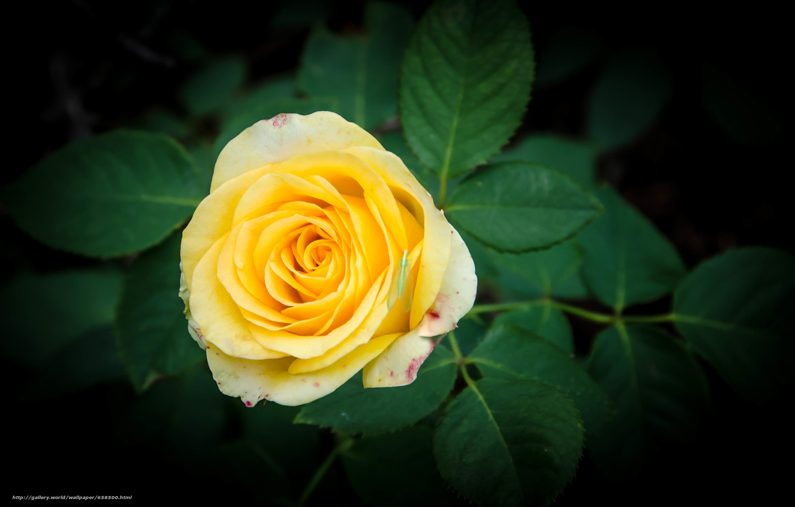 Скачать обои цветок,  цветы,  флора,  роза бесплатно для рабочего стола в разрешении 4215x2688 — картинка №658500