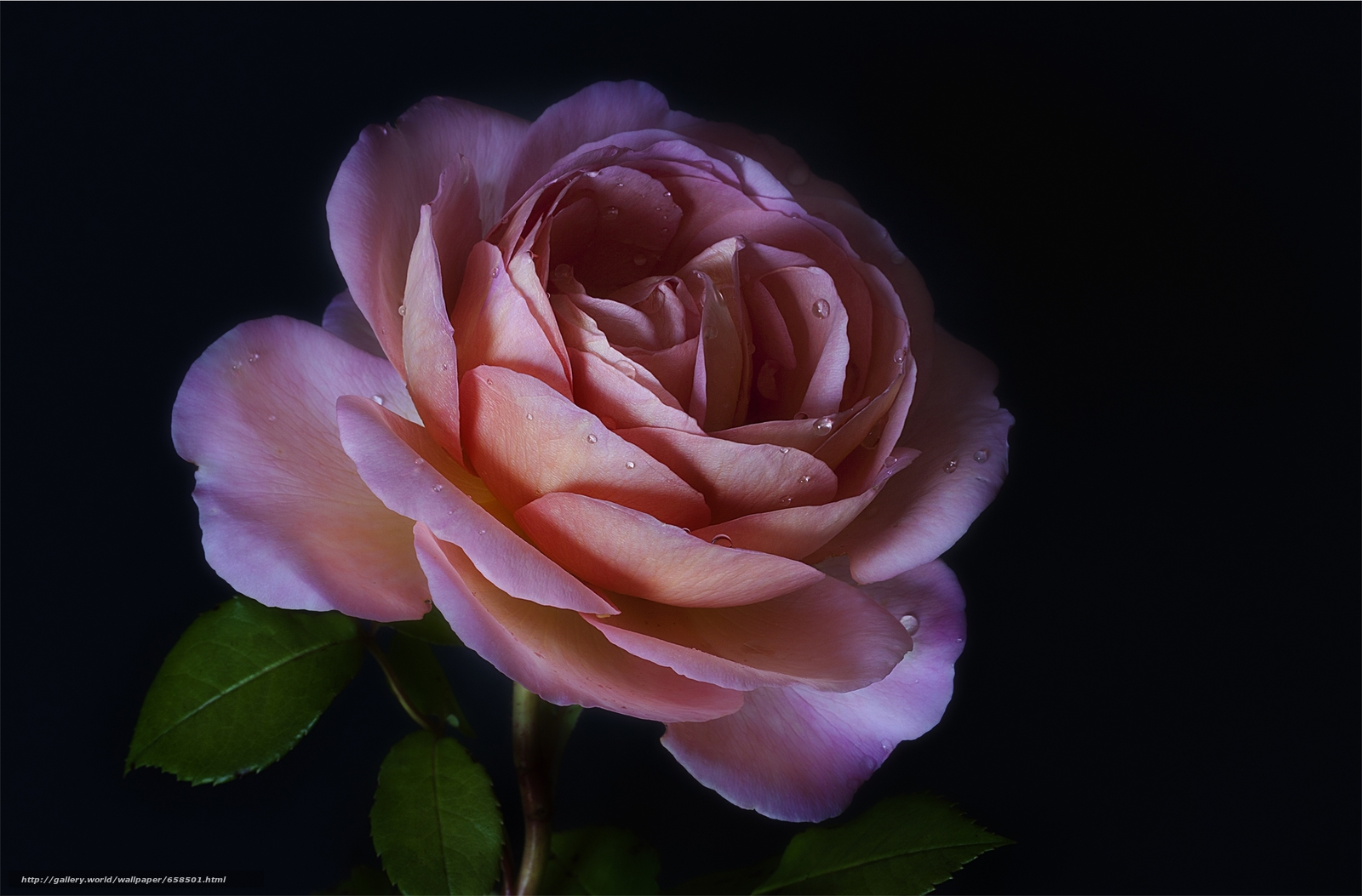 Descargar gratis flor,  Flores,  flora,  rosa Fondos de escritorio en la resolucin 2600x1711 — imagen №658501