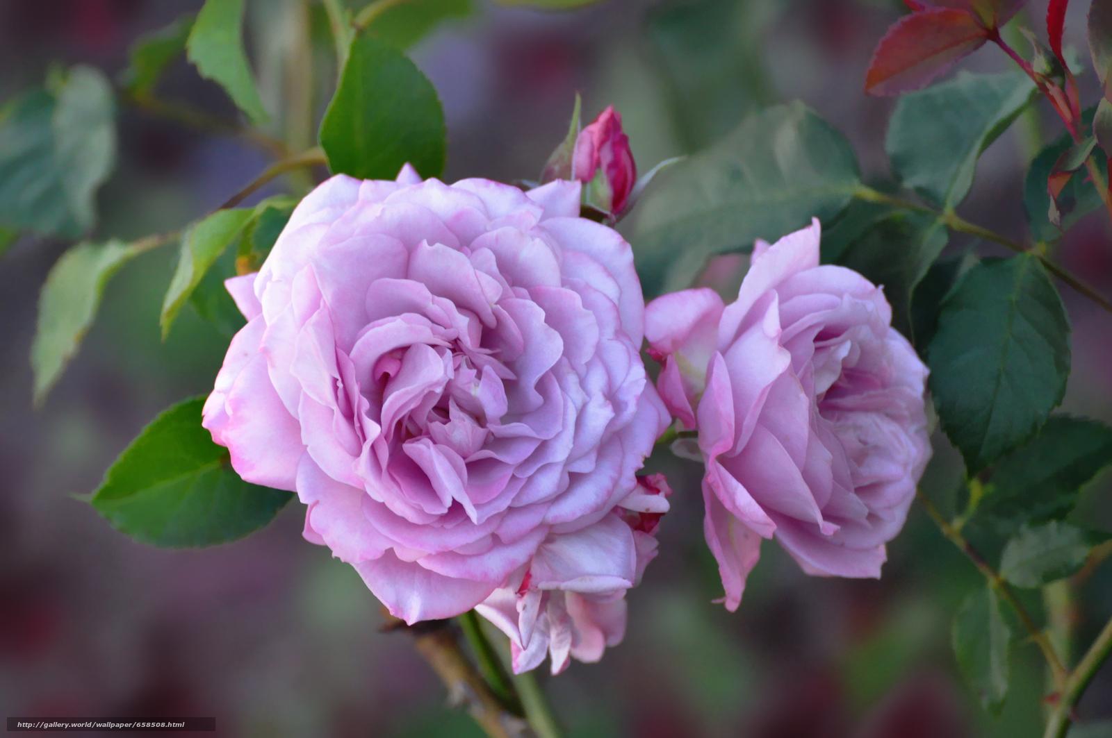 Скачать обои цветок,  цветы,  флора,  роза бесплатно для рабочего стола в разрешении 4288x2848 — картинка №658508