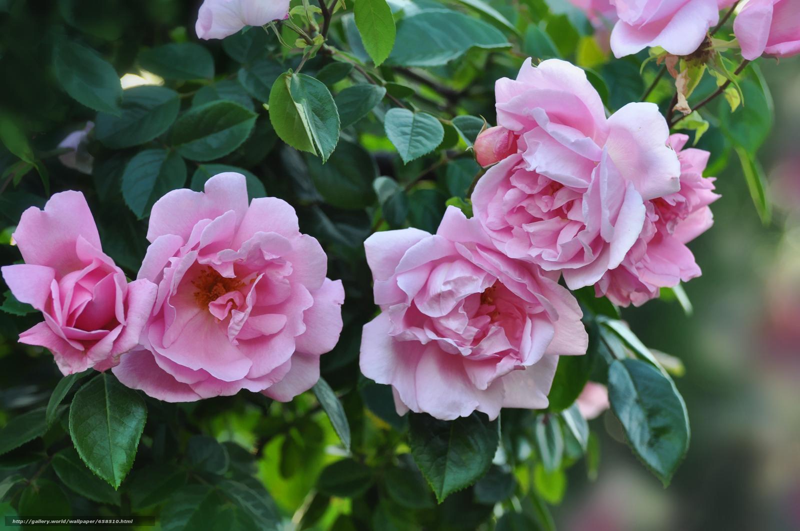 pobra tapety kwiat,  Kwiaty,  flora,  róża Darmowe tapety na pulpit rozdzielczoci 4288x2848 — zdjcie №658510