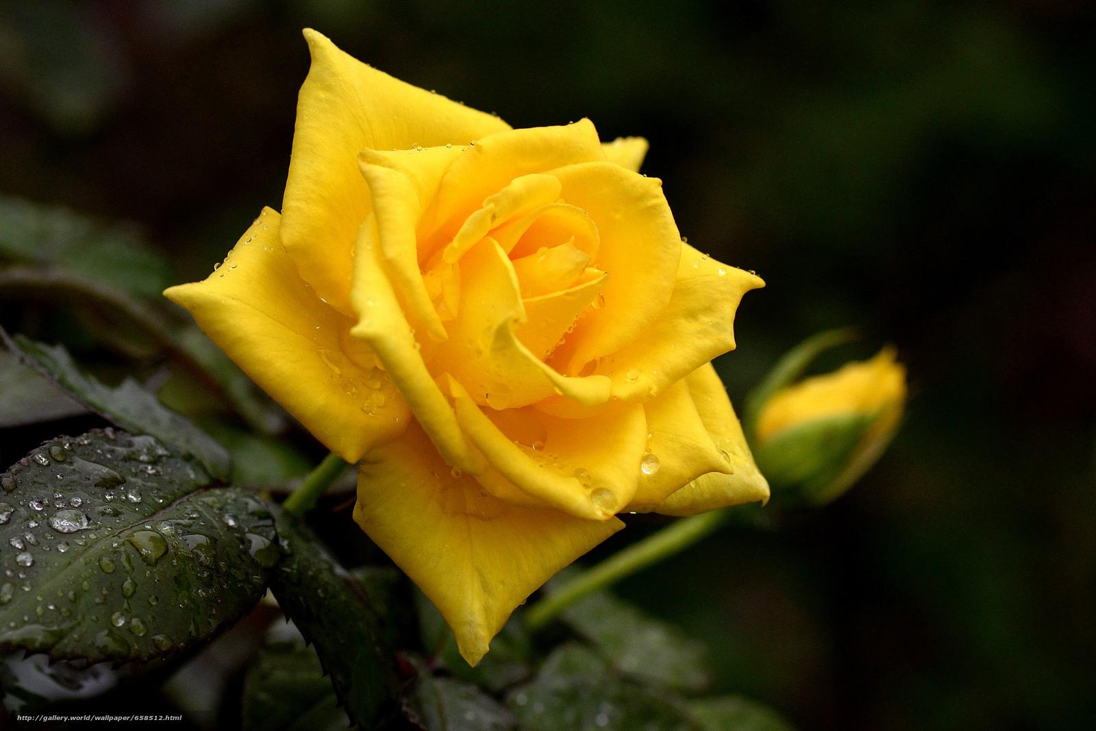 Скачать обои цветок,  цветы,  флора,  роза бесплатно для рабочего стола в разрешении 4822x3215 — картинка №658512