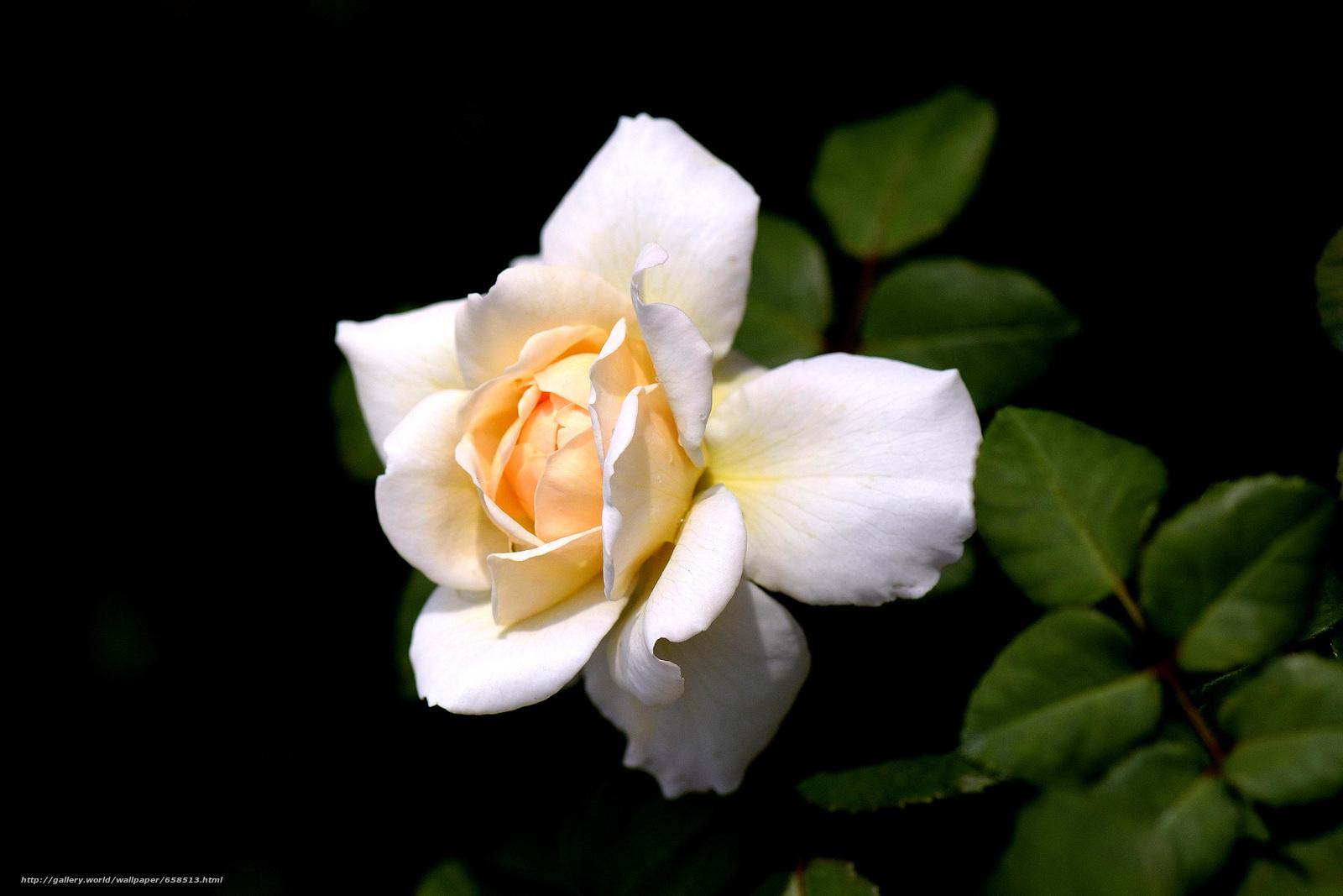 scaricare gli sfondi fiore,  Fiori,  flora,  rosa Sfondi gratis per la risoluzione del desktop 4809x3206 — immagine №658513