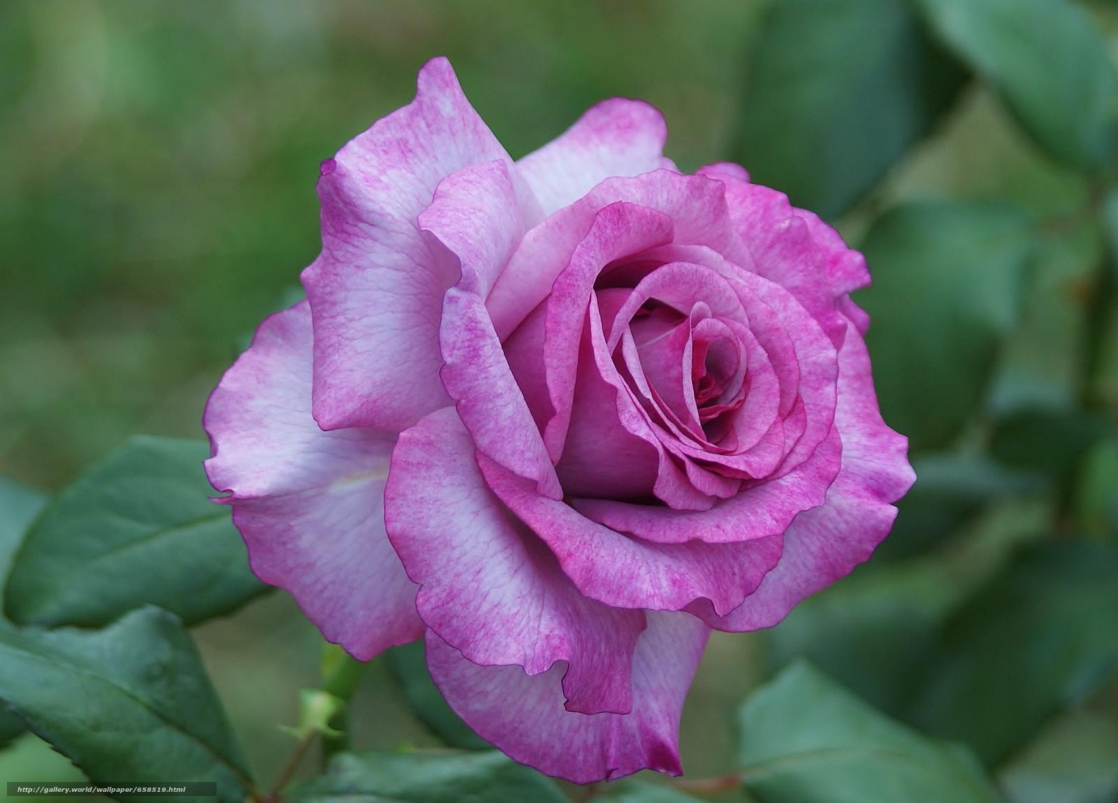 Скачать обои цветок,  цветы,  флора,  роза бесплатно для рабочего стола в разрешении 2307x1657 — картинка №658519