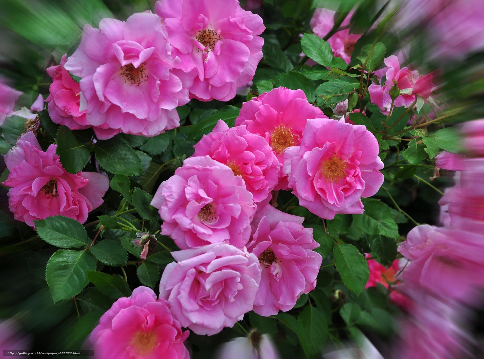 scaricare gli sfondi fiore,  Fiori,  flora,  rosa Sfondi gratis per la risoluzione del desktop 3842x2848 — immagine №658522
