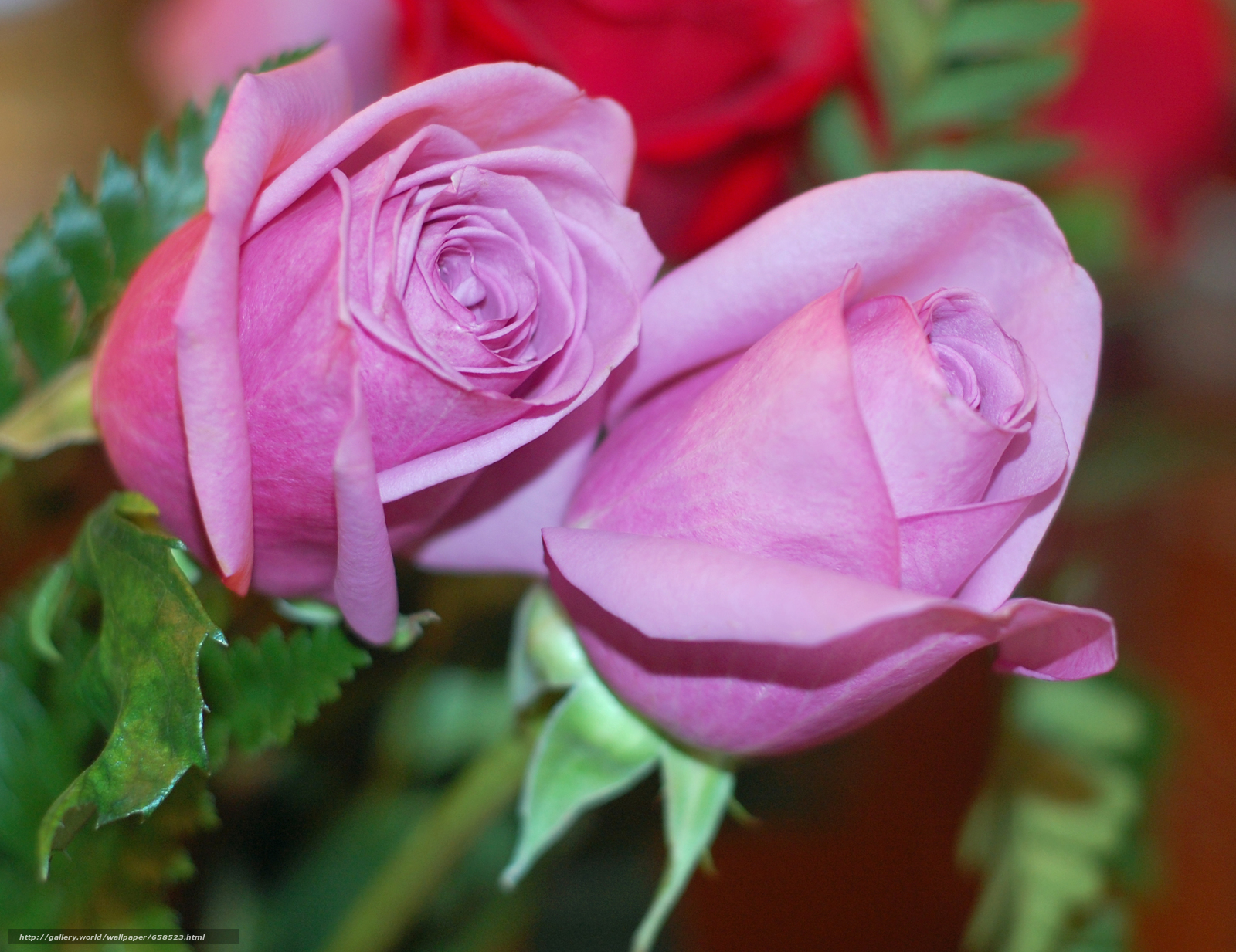 壁紙をダウンロード 花,  フラワーズ,  フローラ,  ローズ デスクトップの解像度のための無料壁紙 2431x1874 — 絵 №658523