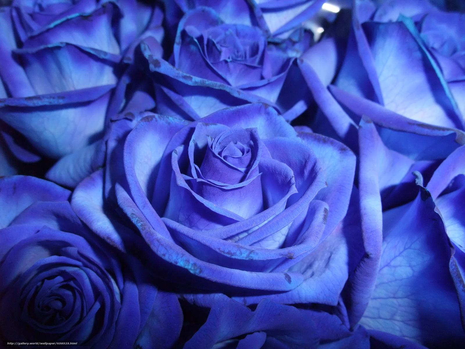 scaricare gli sfondi fiore,  Fiori,  flora,  rosa Sfondi gratis per la risoluzione del desktop 4000x3000 — immagine №658525
