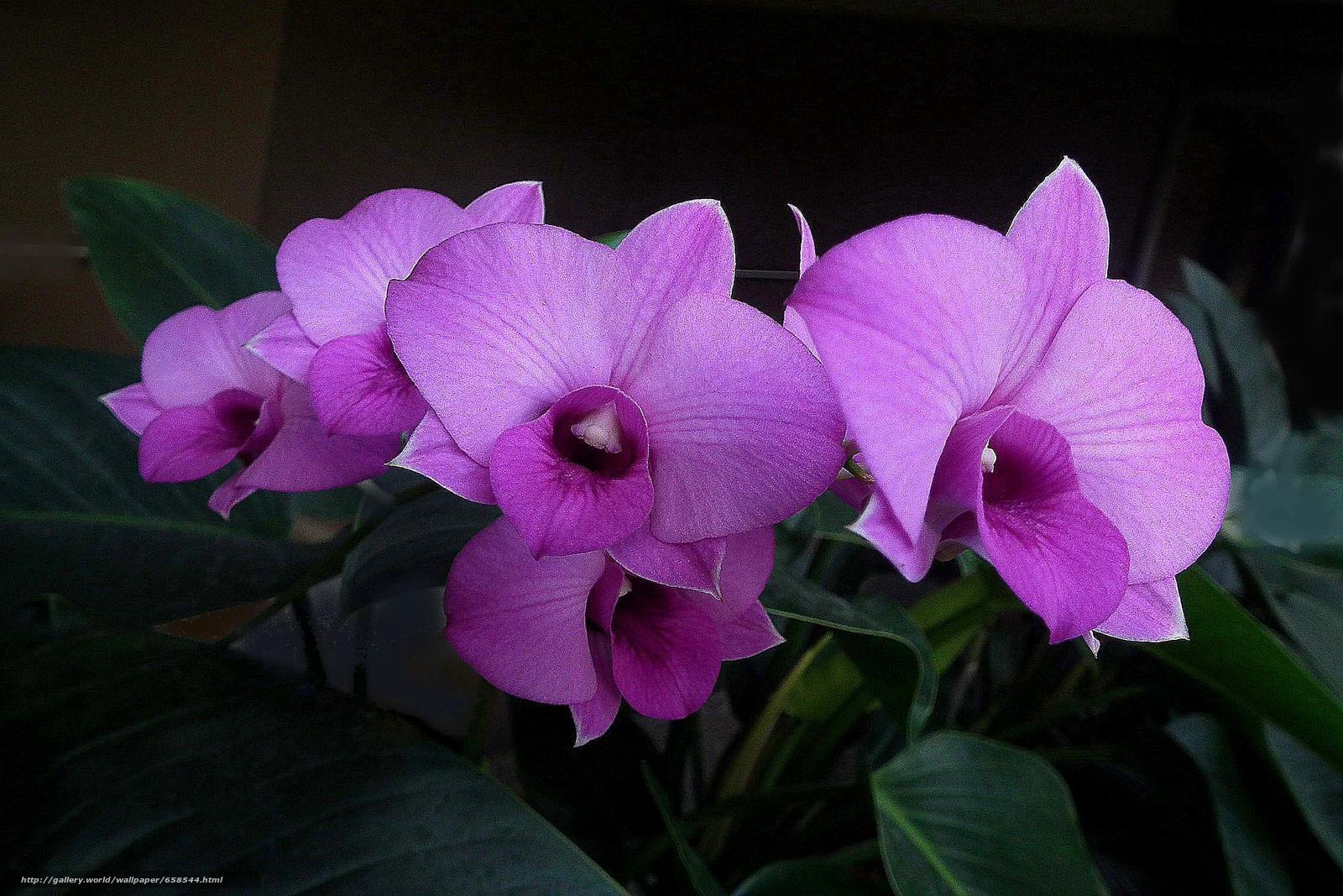 pobra tapety kwiat,  Kwiaty,  flora,  orchidea Darmowe tapety na pulpit rozdzielczoci 2250x1500 — zdjcie №658544