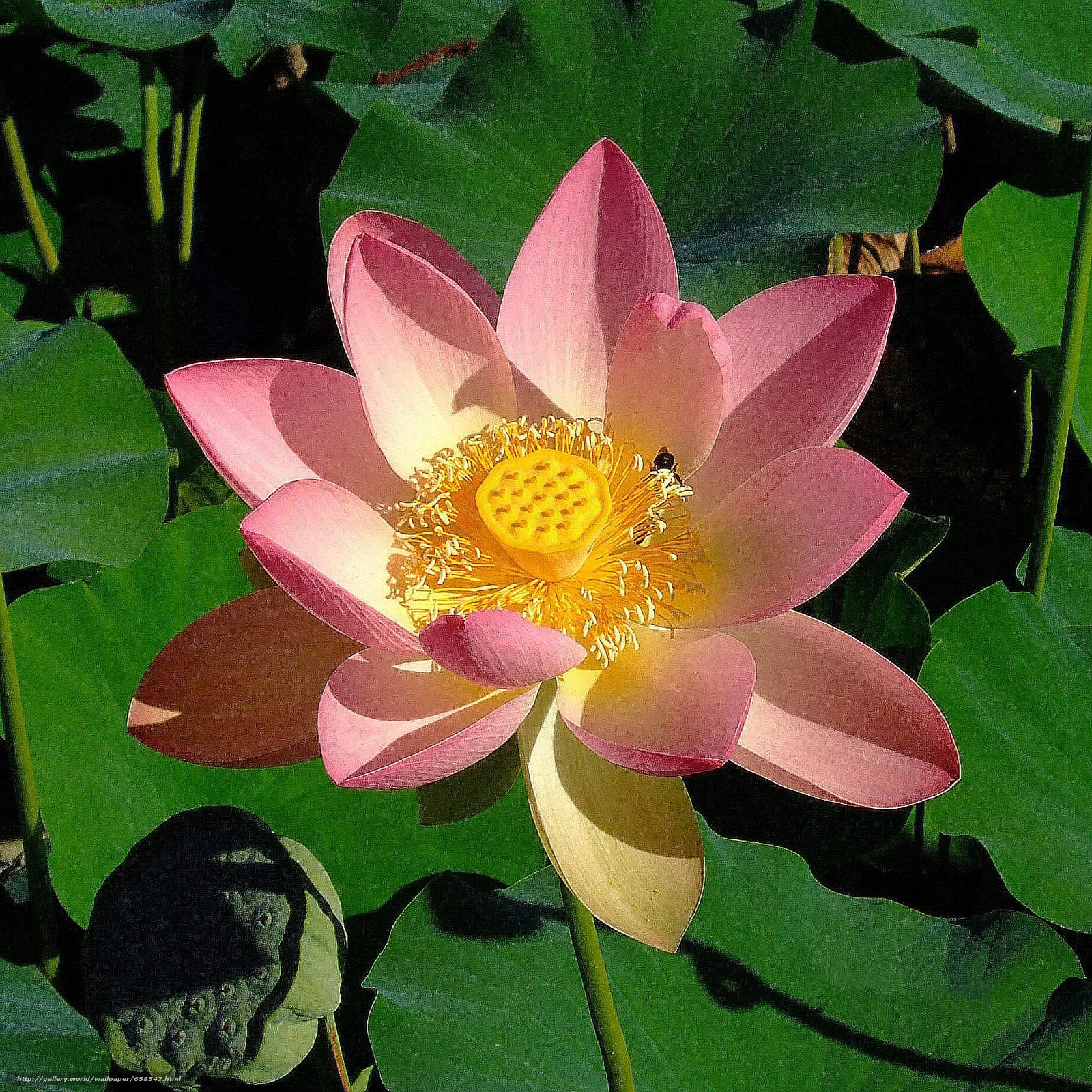 Download wallpaper lotus,  flower,  Flowers,  flora free desktop wallpaper in the resolution 1850x1850 — picture №658547