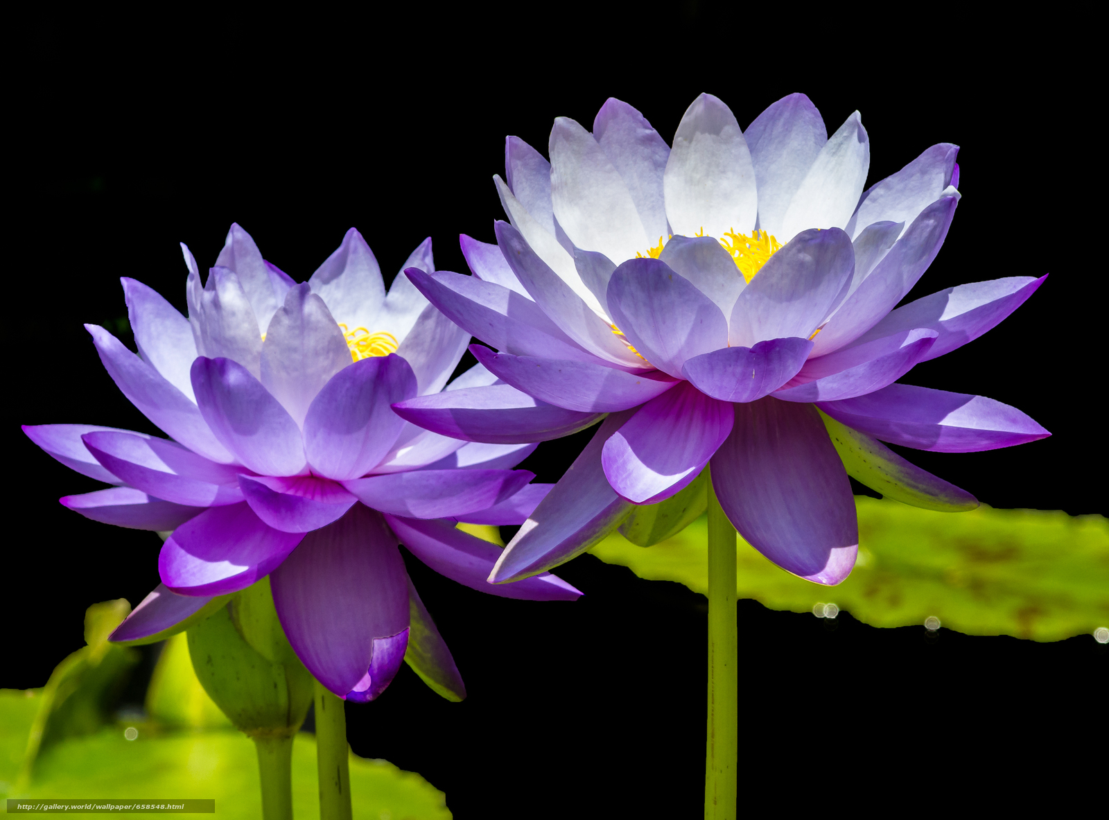Download wallpaper lotus,  flower,  Flowers,  flora free desktop wallpaper in the resolution 2325x1719 — picture №658548