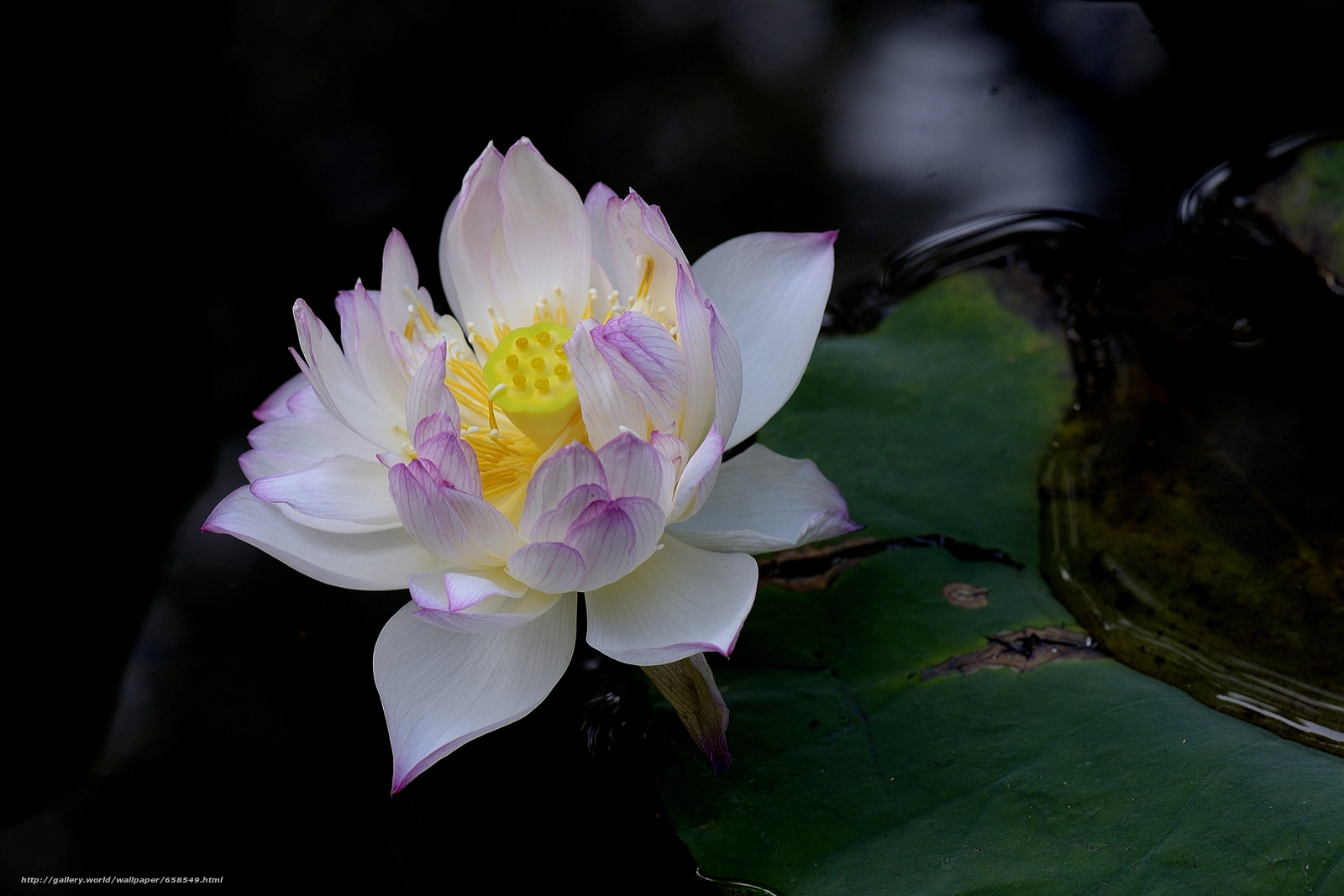 Download wallpaper lotus,  flower,  Flowers,  flora free desktop wallpaper in the resolution 4073x2715 — picture №658549