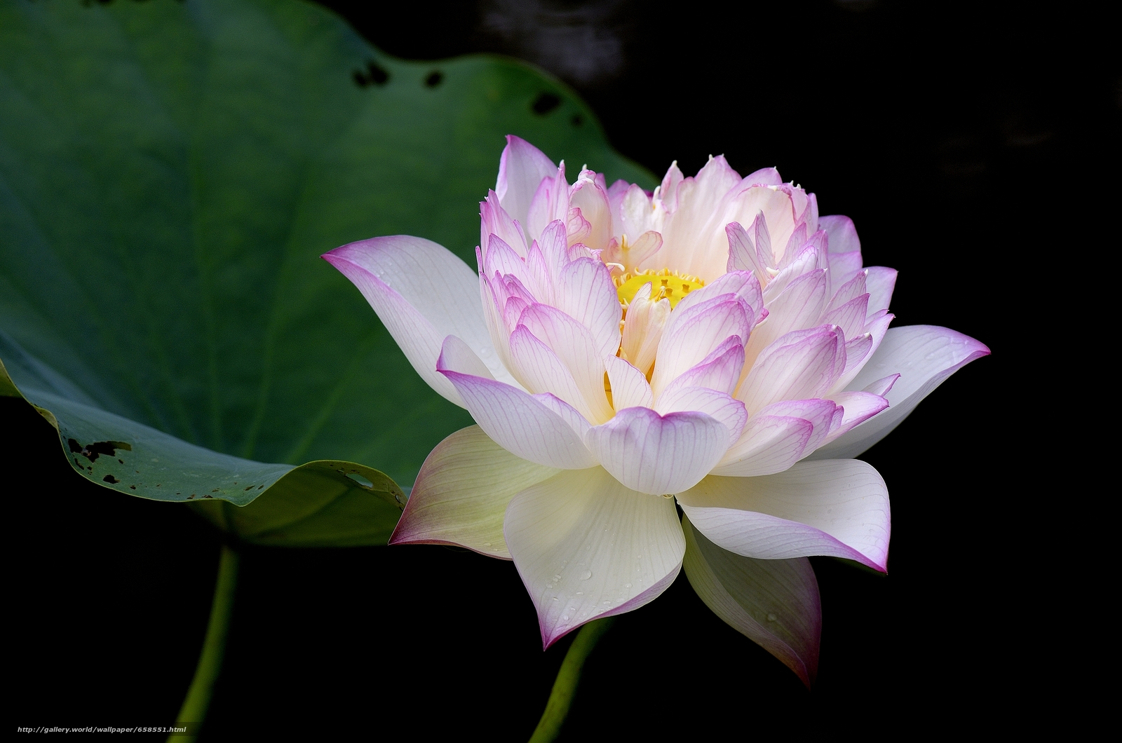 Download wallpaper lotus,  flower,  Flowers,  flora free desktop wallpaper in the resolution 4928x3264 — picture №658551