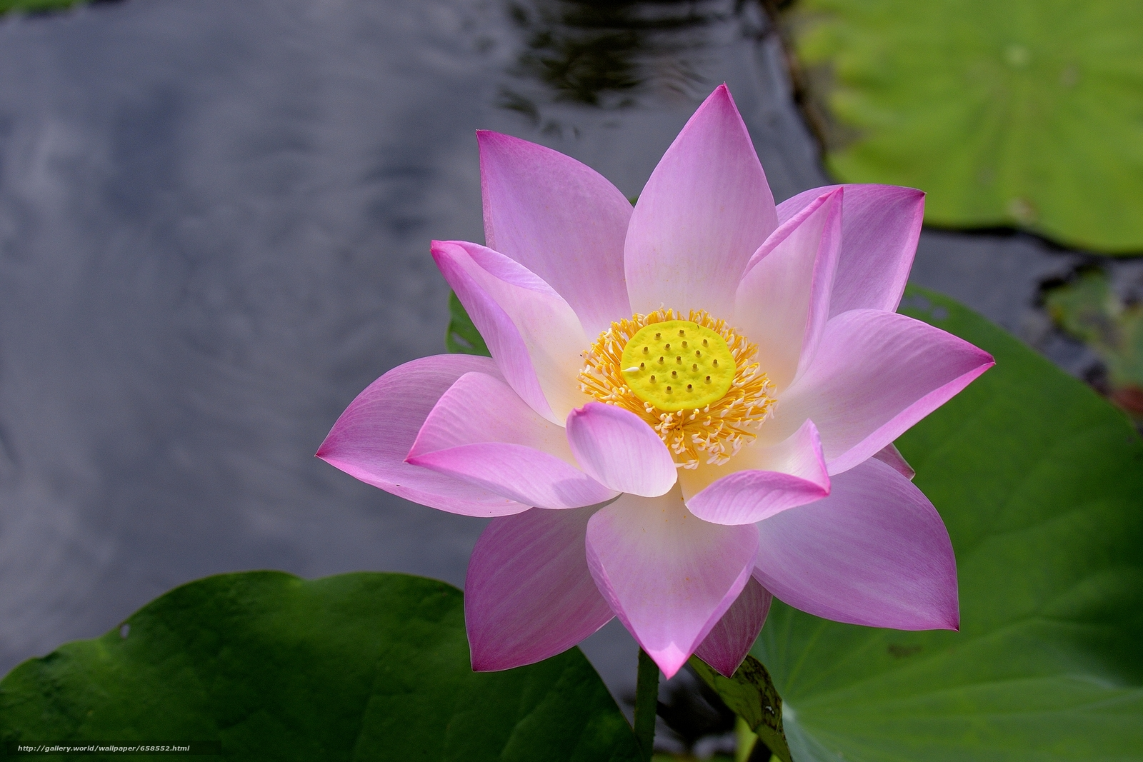 Download wallpaper lotus,  flower,  Flowers,  flora free desktop wallpaper in the resolution 4676x3117 — picture №658552