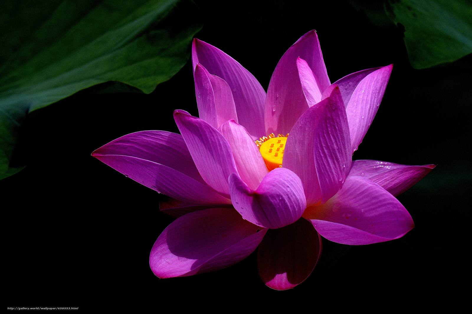 Download wallpaper lotus,  flower,  Flowers,  flora free desktop wallpaper in the resolution 4519x3013 — picture №658553