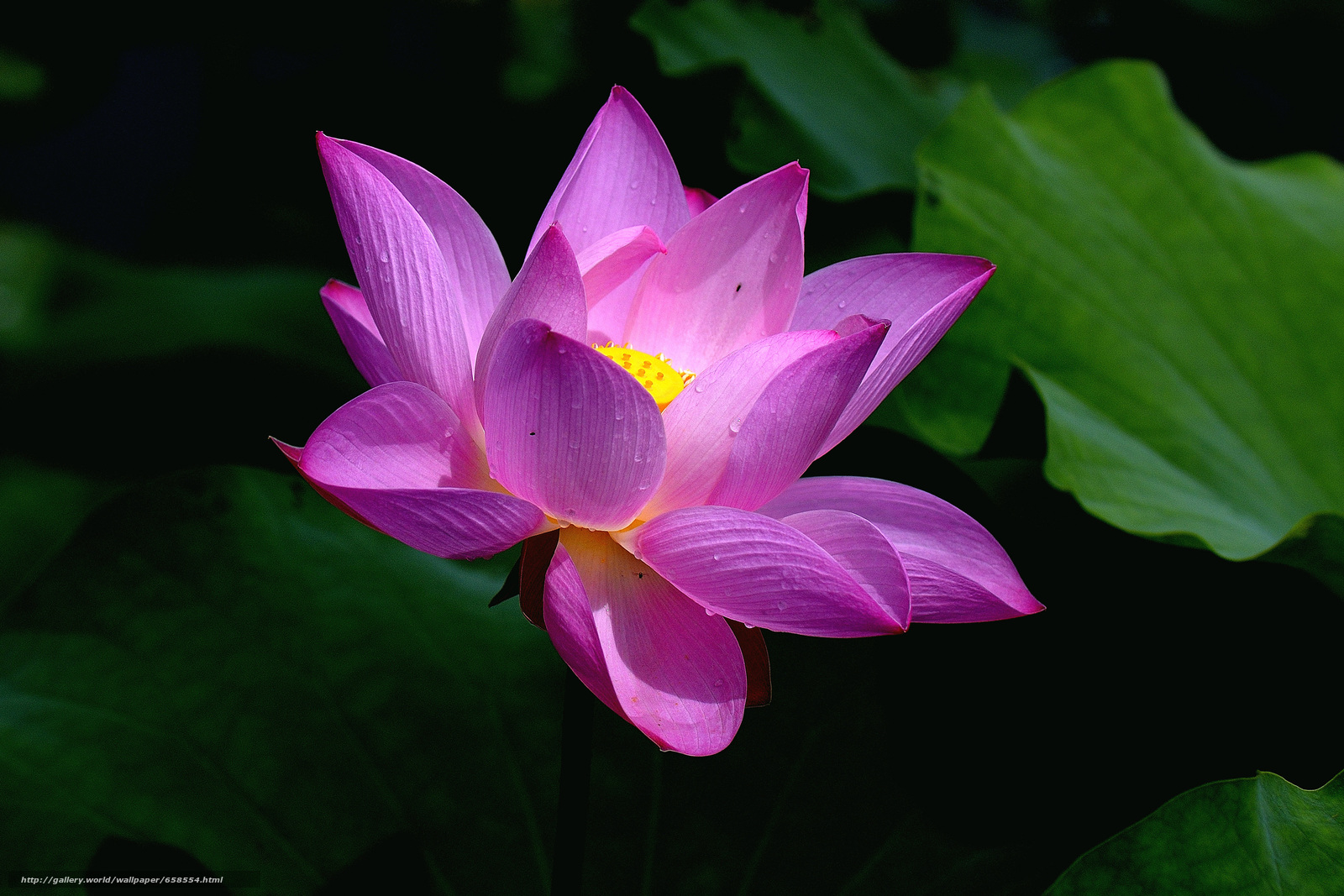 Download wallpaper lotus,  flower,  Flowers,  flora free desktop wallpaper in the resolution 4377x2918 — picture №658554