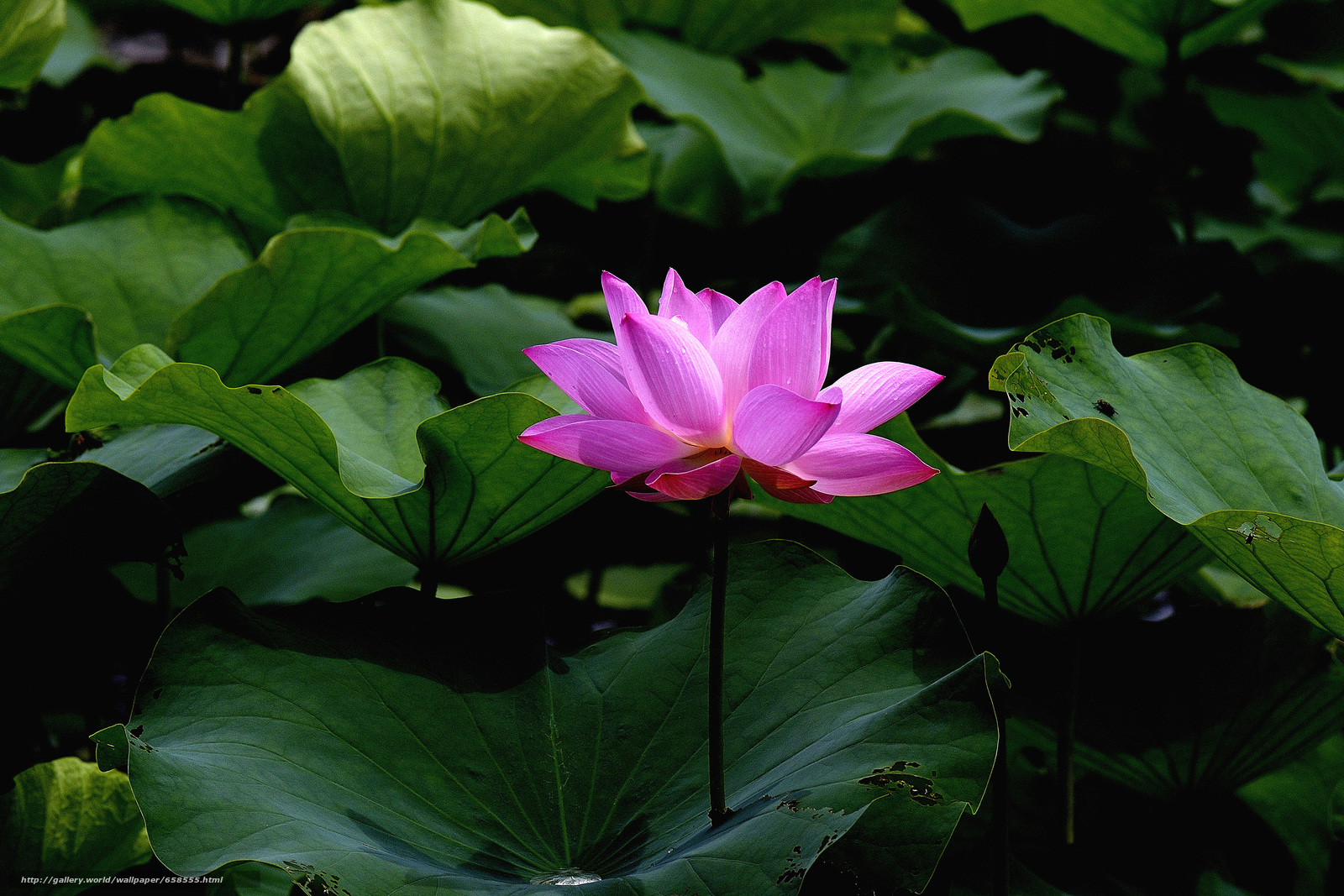 Download wallpaper lotus,  flower,  Flowers,  flora free desktop wallpaper in the resolution 4476x2984 — picture №658555