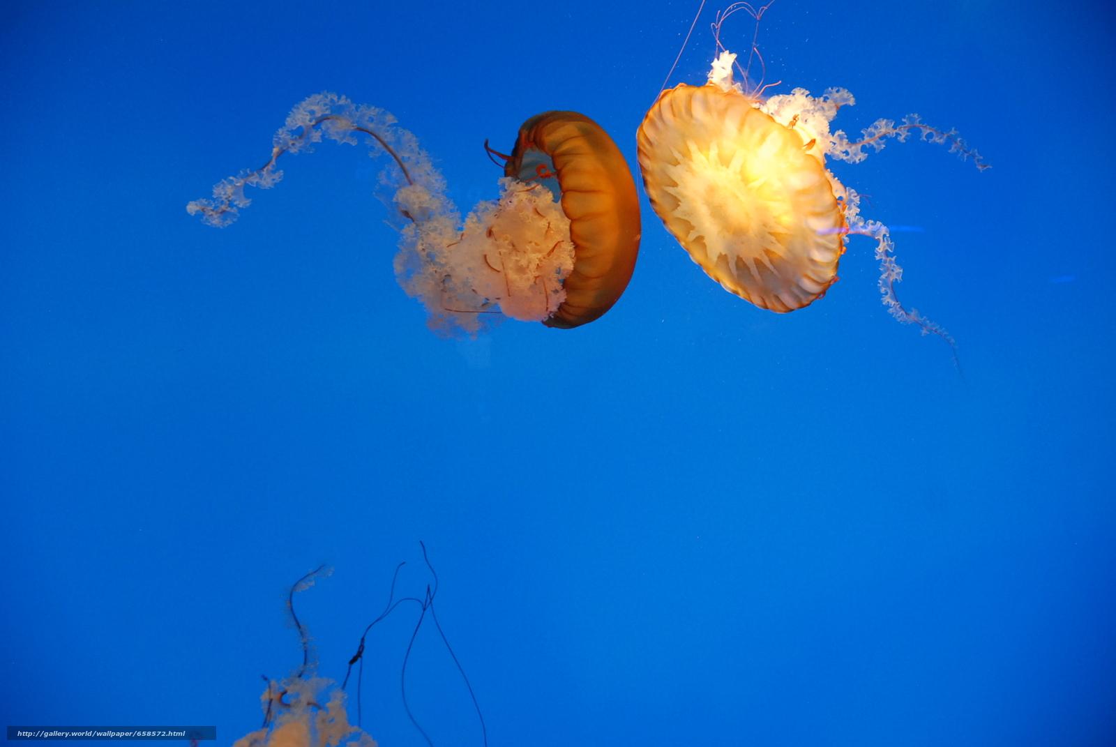 Скачать обои медуза,  медузы,  подводный мир,  вода бесплатно для рабочего стола в разрешении 1936x1296 — картинка №658572