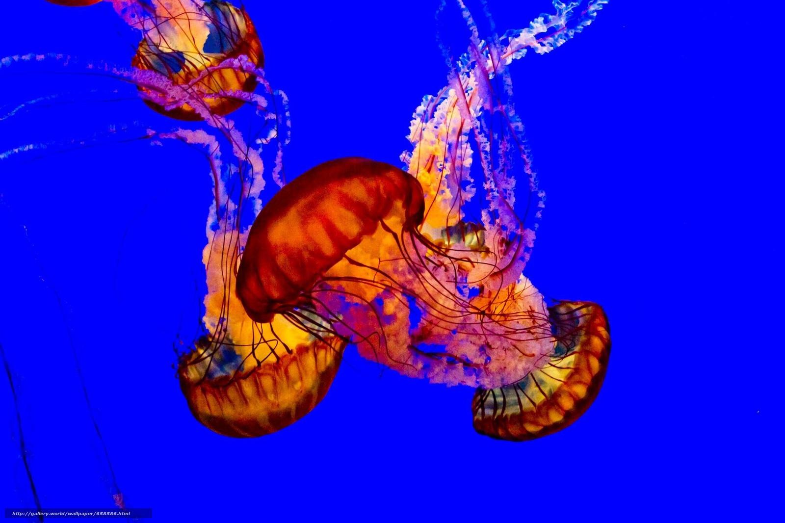 Baixar Wallpaper água-viva,  Água-viva,  Mundo Subaquático,  água Papis de parede grtis na resoluo 2048x1365 — quadro №658586