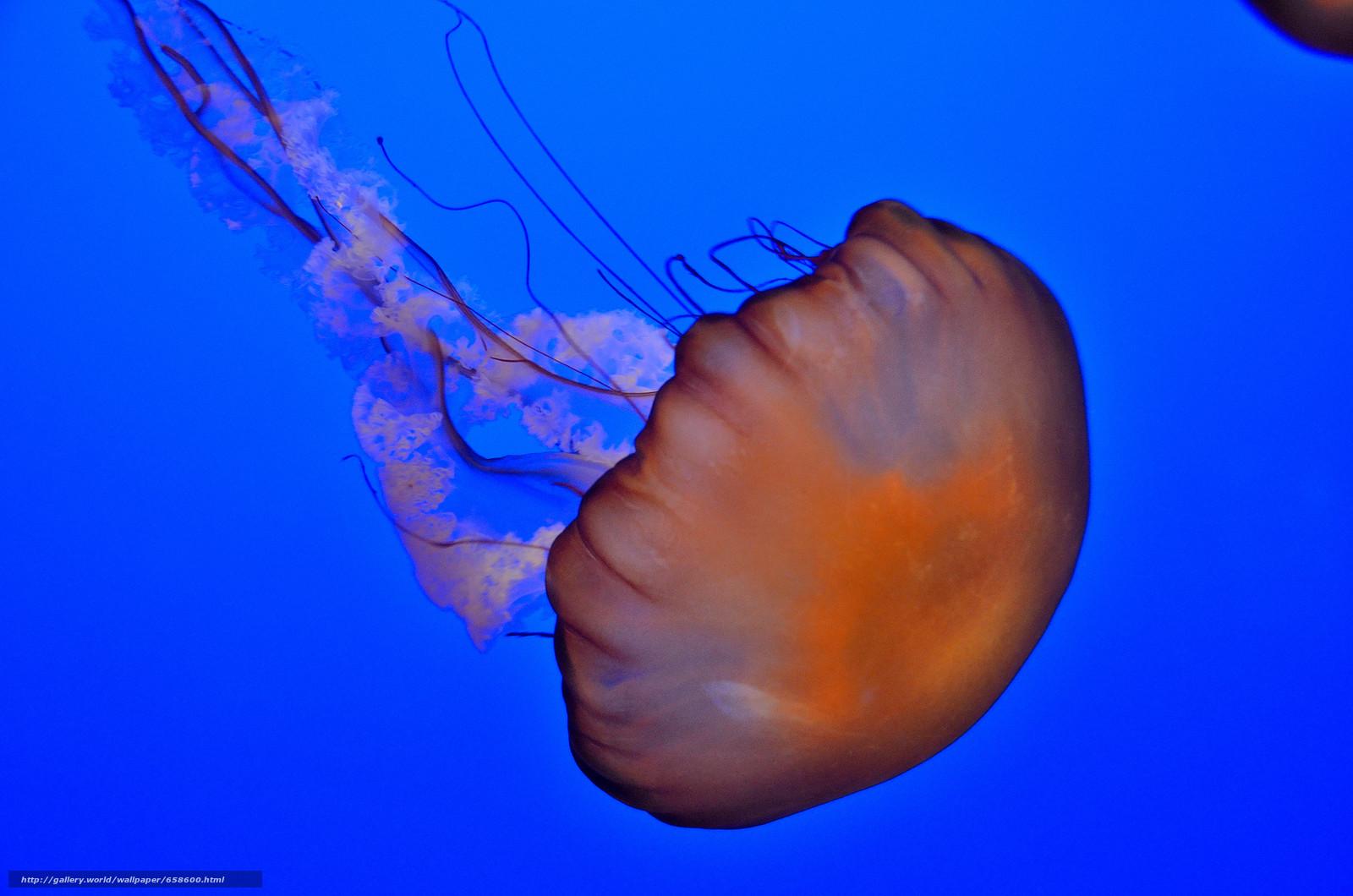 Скачать обои медуза,  медузы,  подводный мир,  вода бесплатно для рабочего стола в разрешении 4928x3264 — картинка №658600