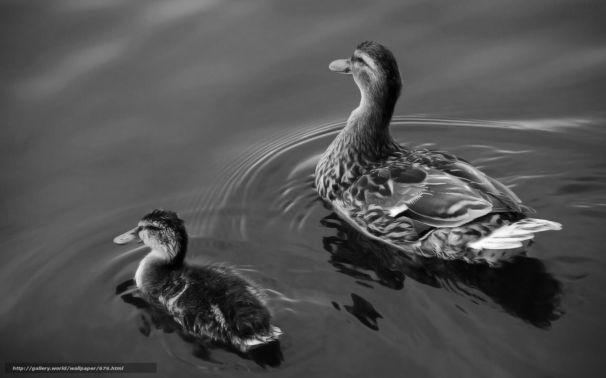 Скачать обои утки,  озеро,  вода бесплатно для рабочего стола в разрешении 1920x1200 — картинка №676