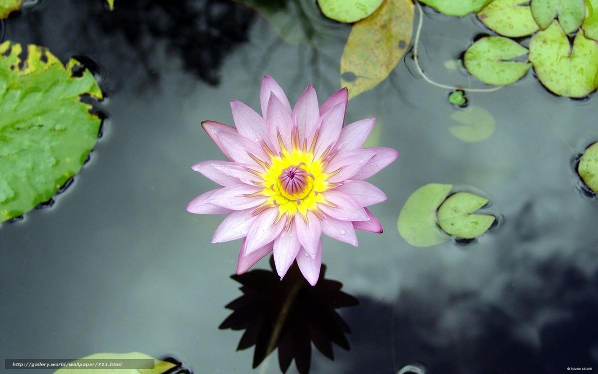 scaricare gli sfondi fiore,  acqua,  giglio,  lago Sfondi gratis per la risoluzione del desktop 1920x1200 — immagine №711