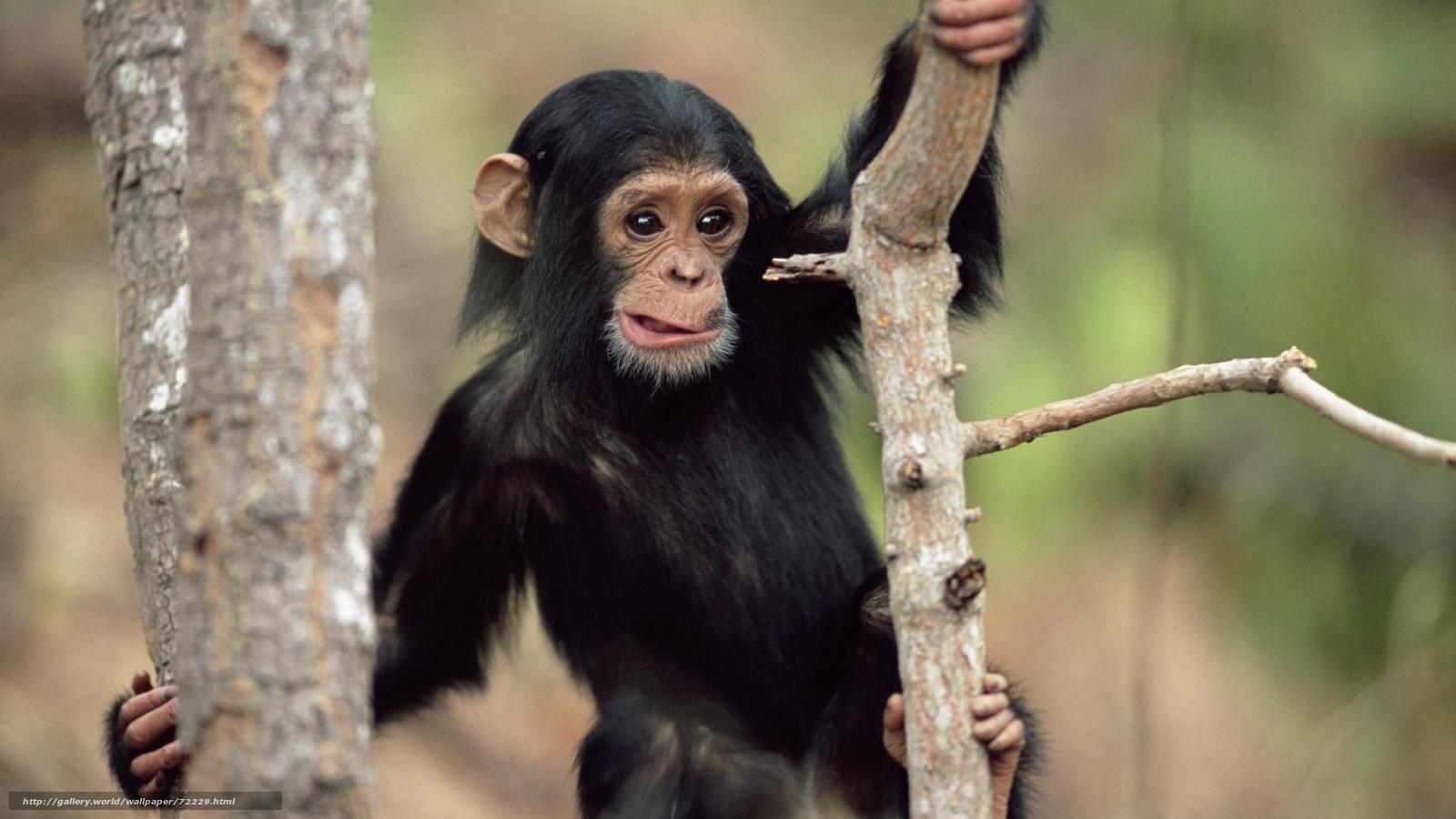 Скачать обои животные,  обои с животными,  обезьяна,  удивление бесплатно для рабочего стола в разрешении 1920x1080 — картинка №72229