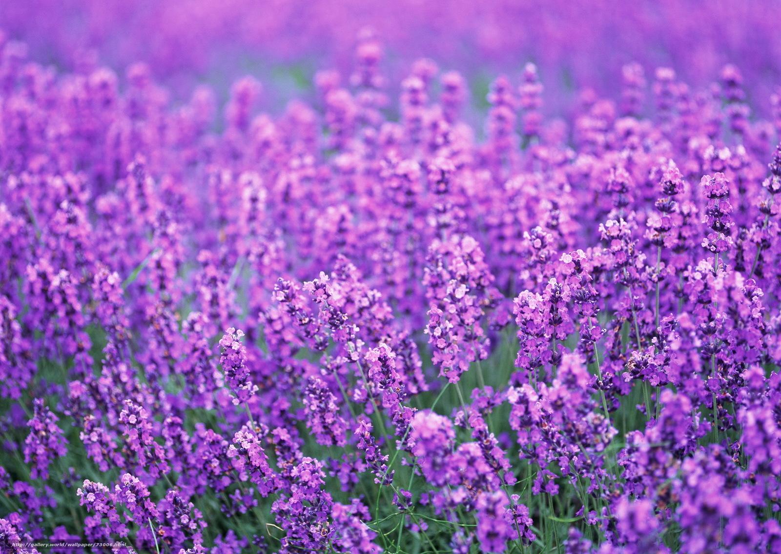 Скачать обои лаванда,  поле,  цветы,  лиловый бесплатно для рабочего стола в разрешении 1920x1363 — картинка №73006